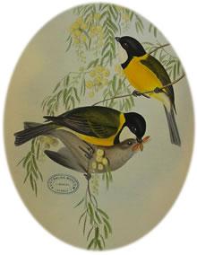 Golden whistler (Gould)