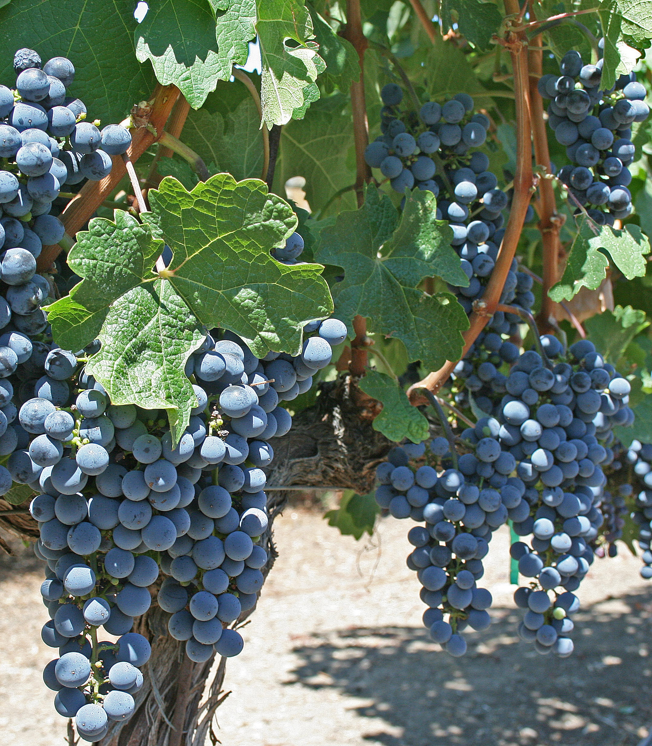 File:Grape Vines - Cliff Lede Winery jpg - Wikimedia Commons