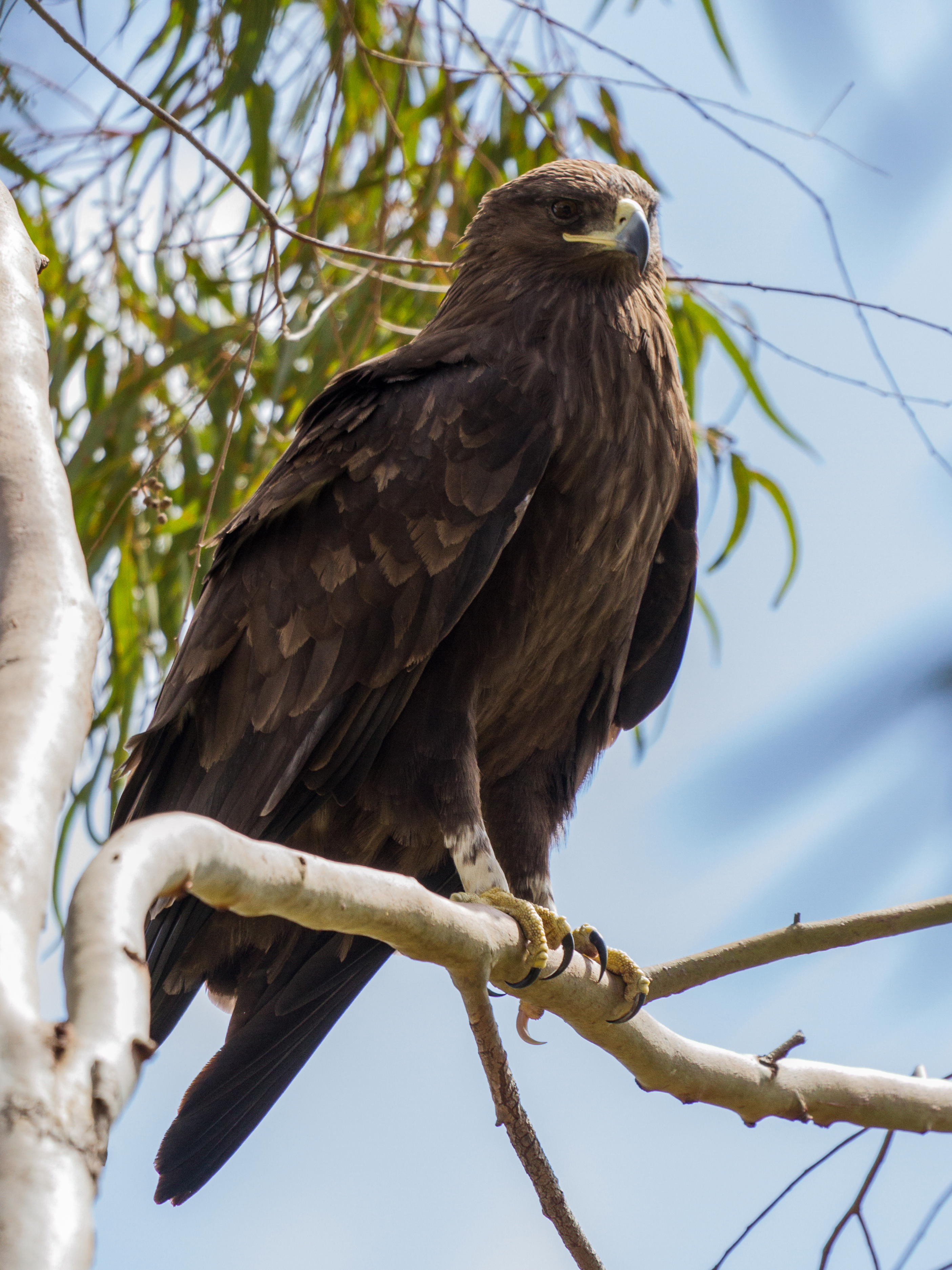 Greater Spotted Eagle Perched, #Eagle