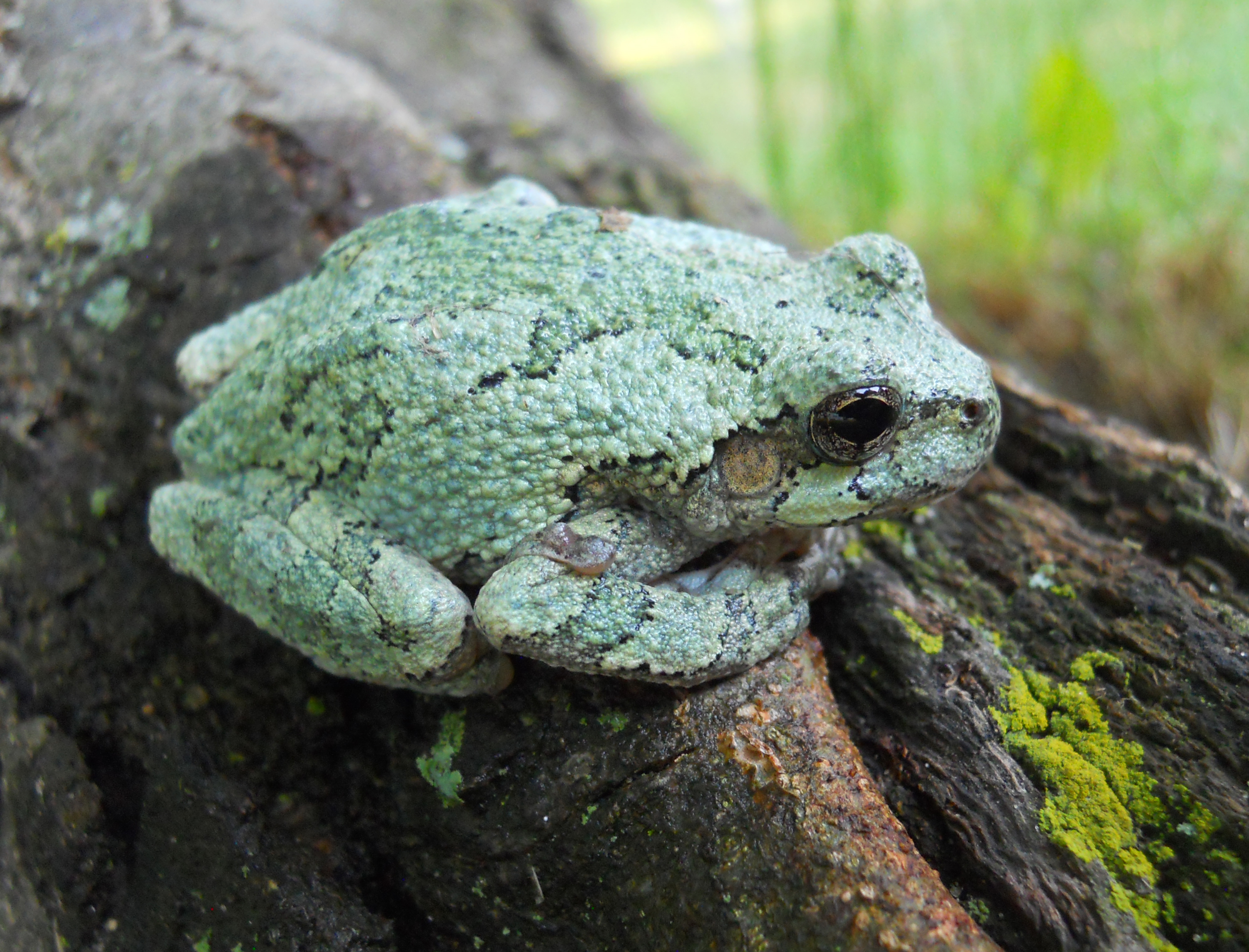 how to make a green tree frog habitat
