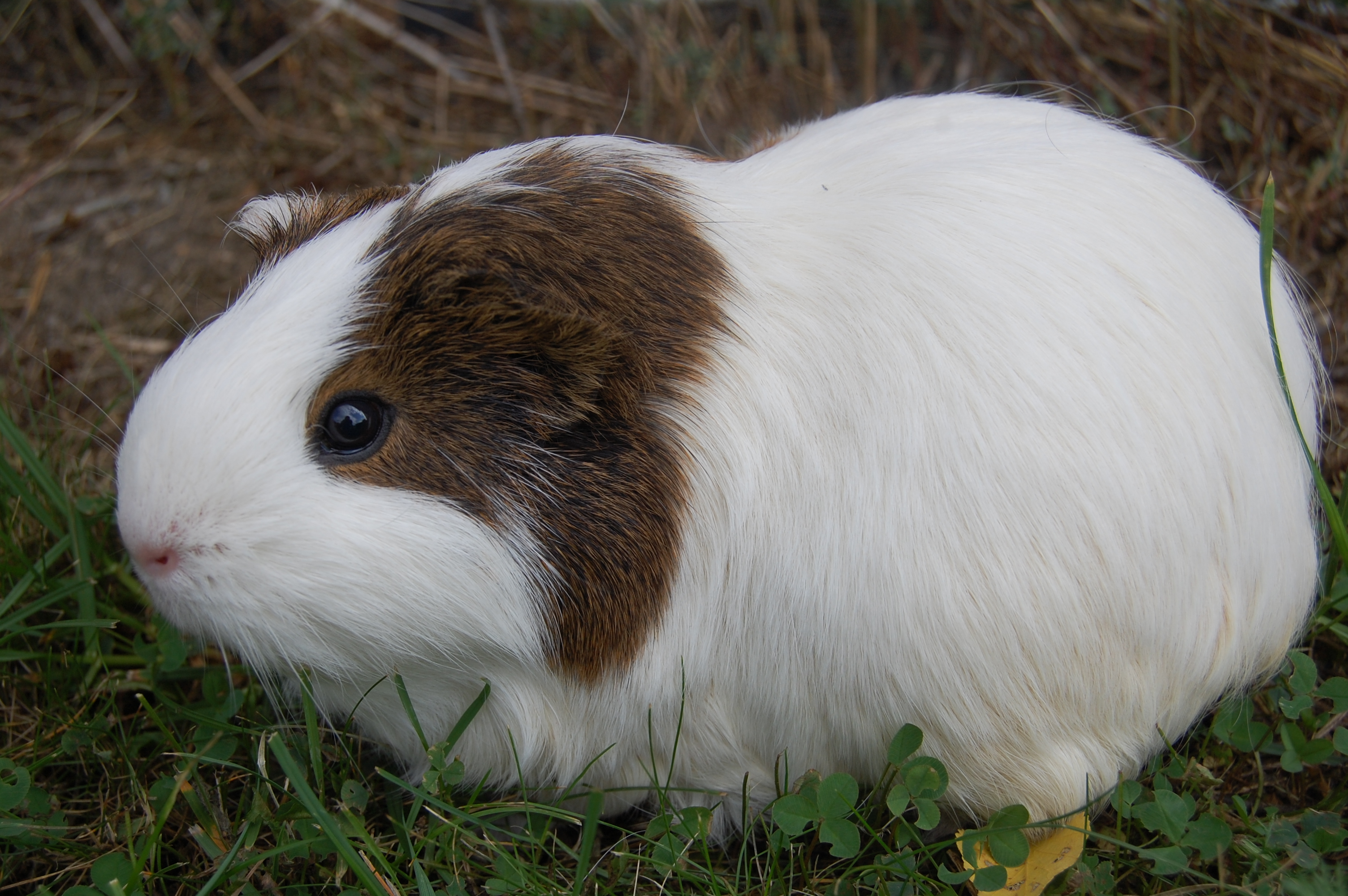List of guinea pig breeds - Wikiwand