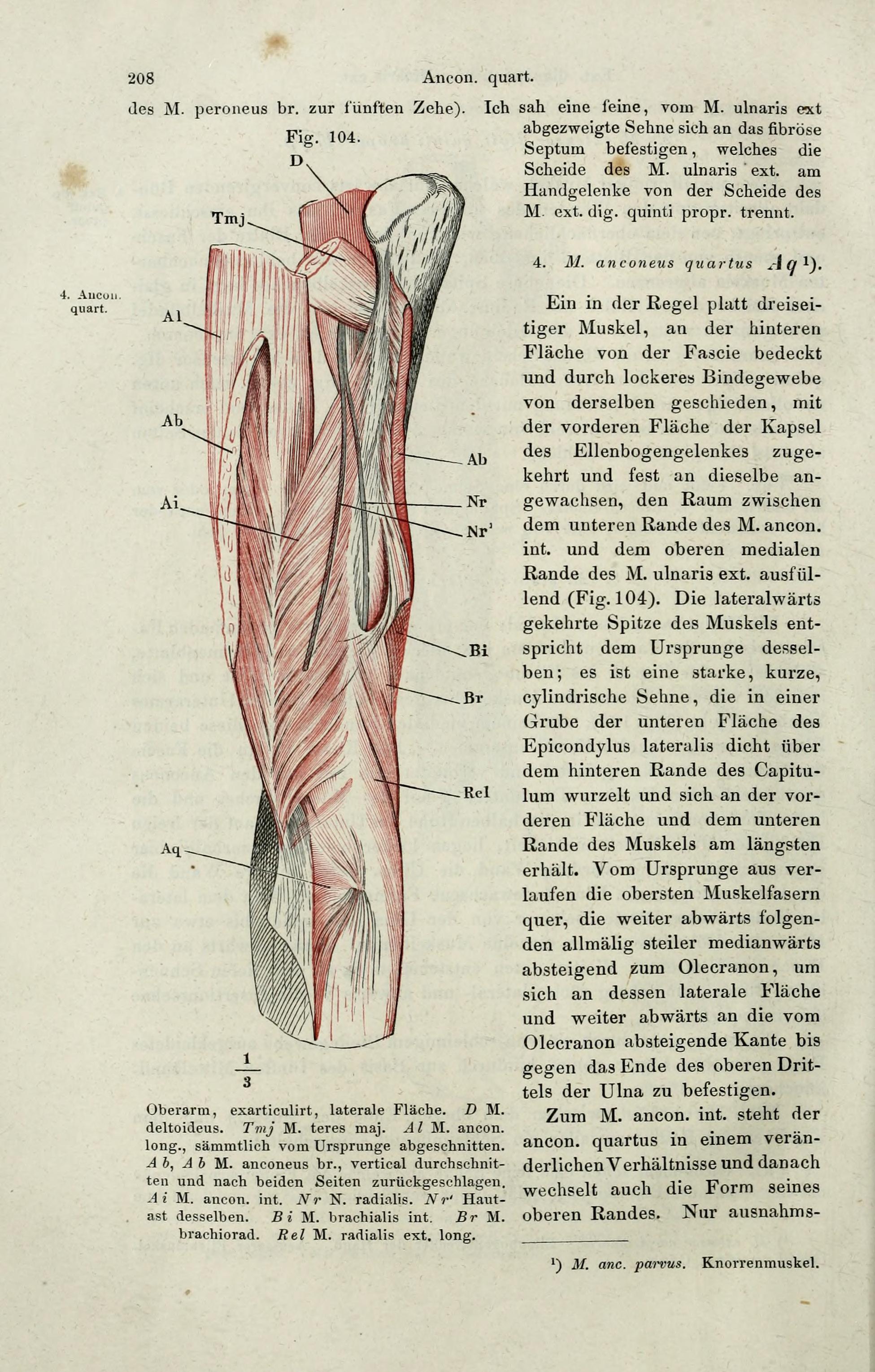 File:Handbuch der systematischen Anatomie des Menschen (Page 208 ...