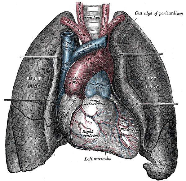 Heart-and-lungs.jpg