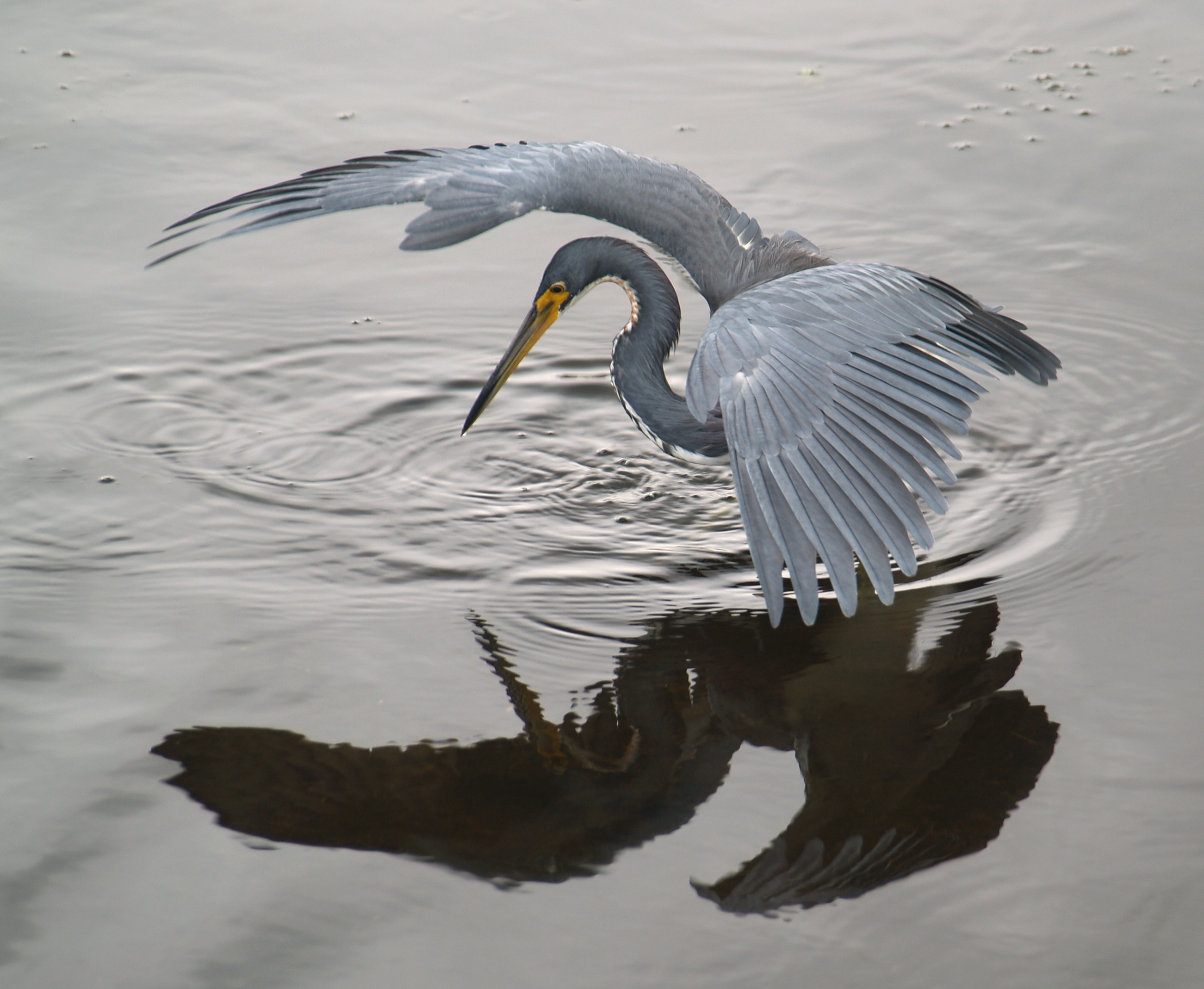 File heron tricol 01 jpg wikimedia commons for Blue heron fishing