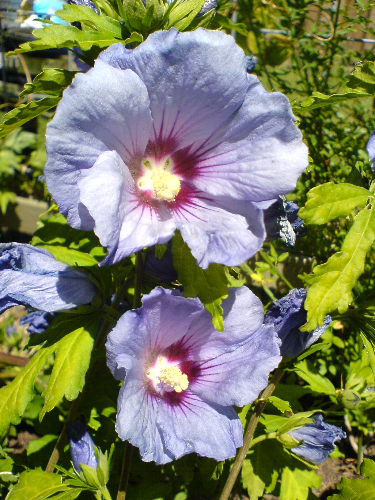 file hibiscus syriacus close jpg wikimedia commons. Black Bedroom Furniture Sets. Home Design Ideas
