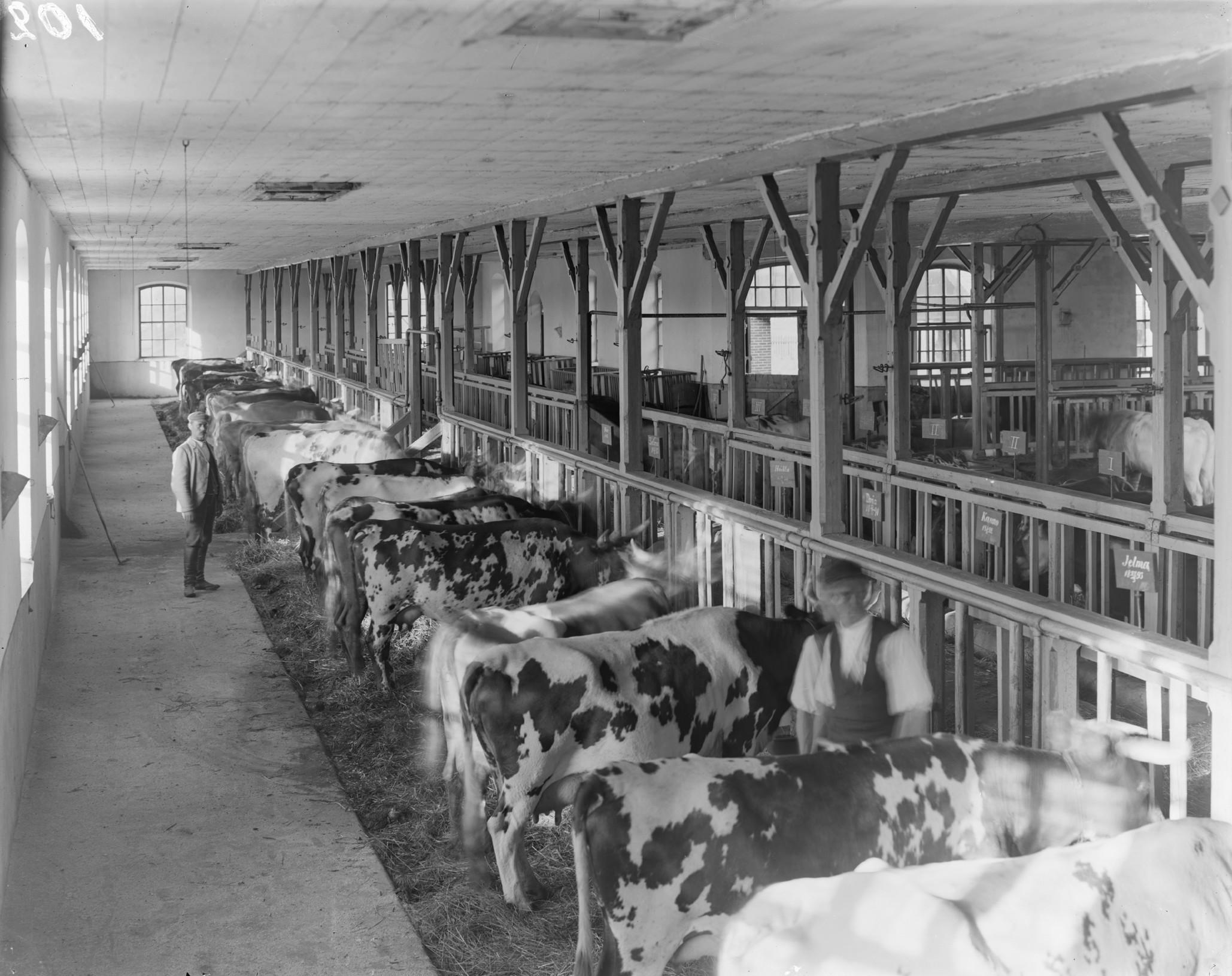 Fazenda de gado leiteiro, parte da série sobre Agricultura Finlandesa [1899]