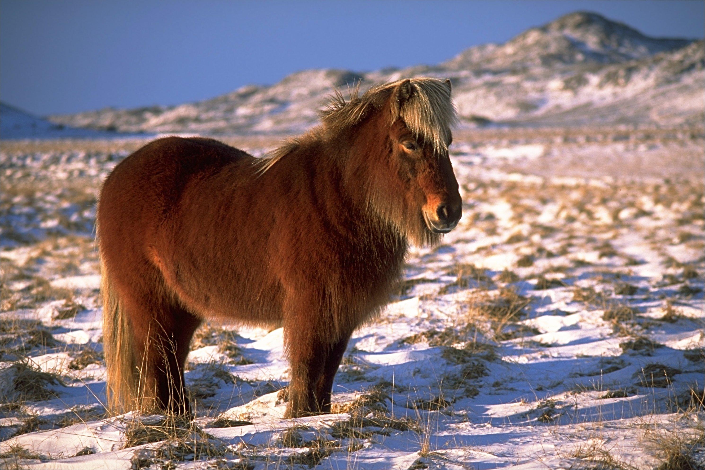 Ein Islandpferd im Winter