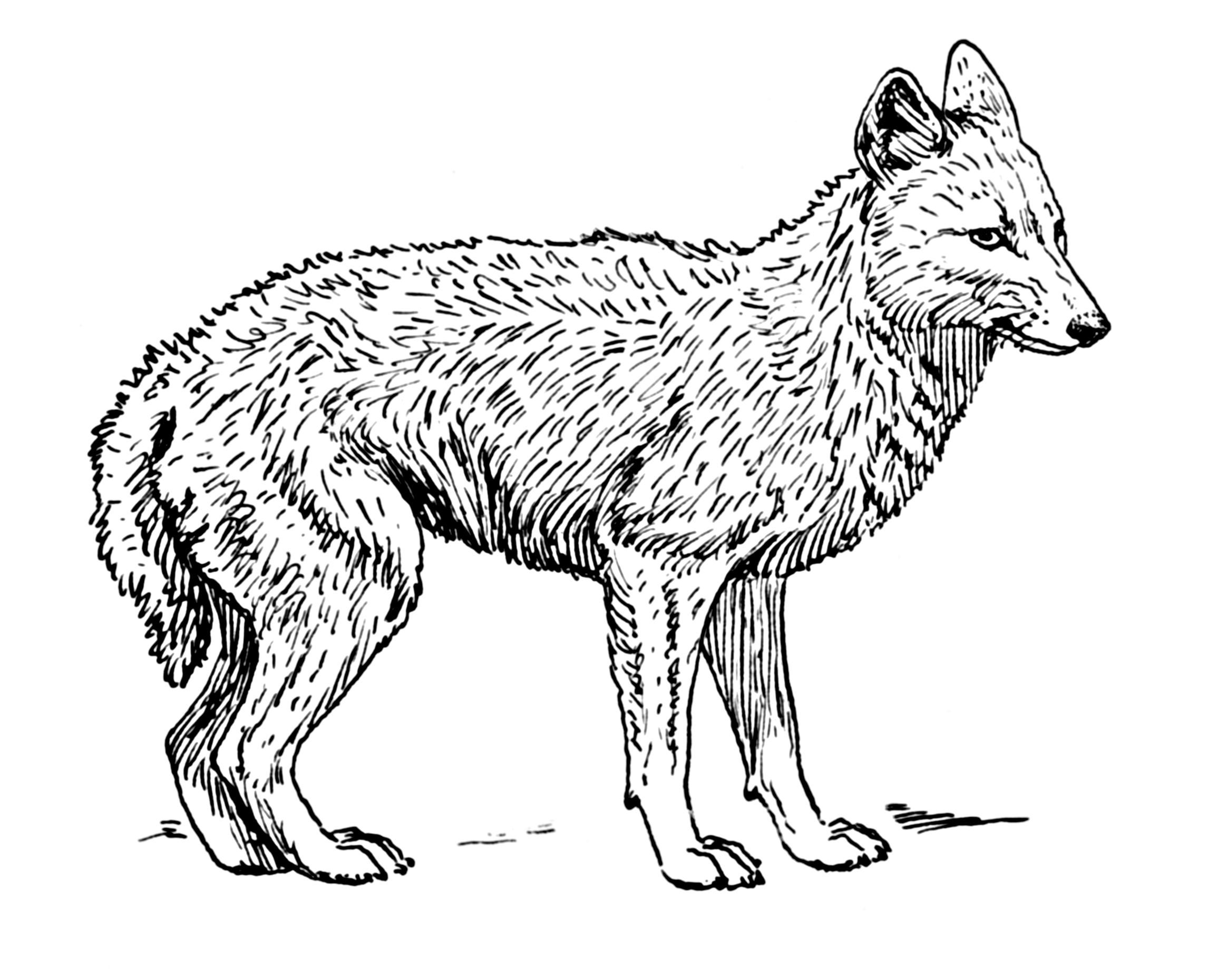 Image Result For Coloring Pages Coyote