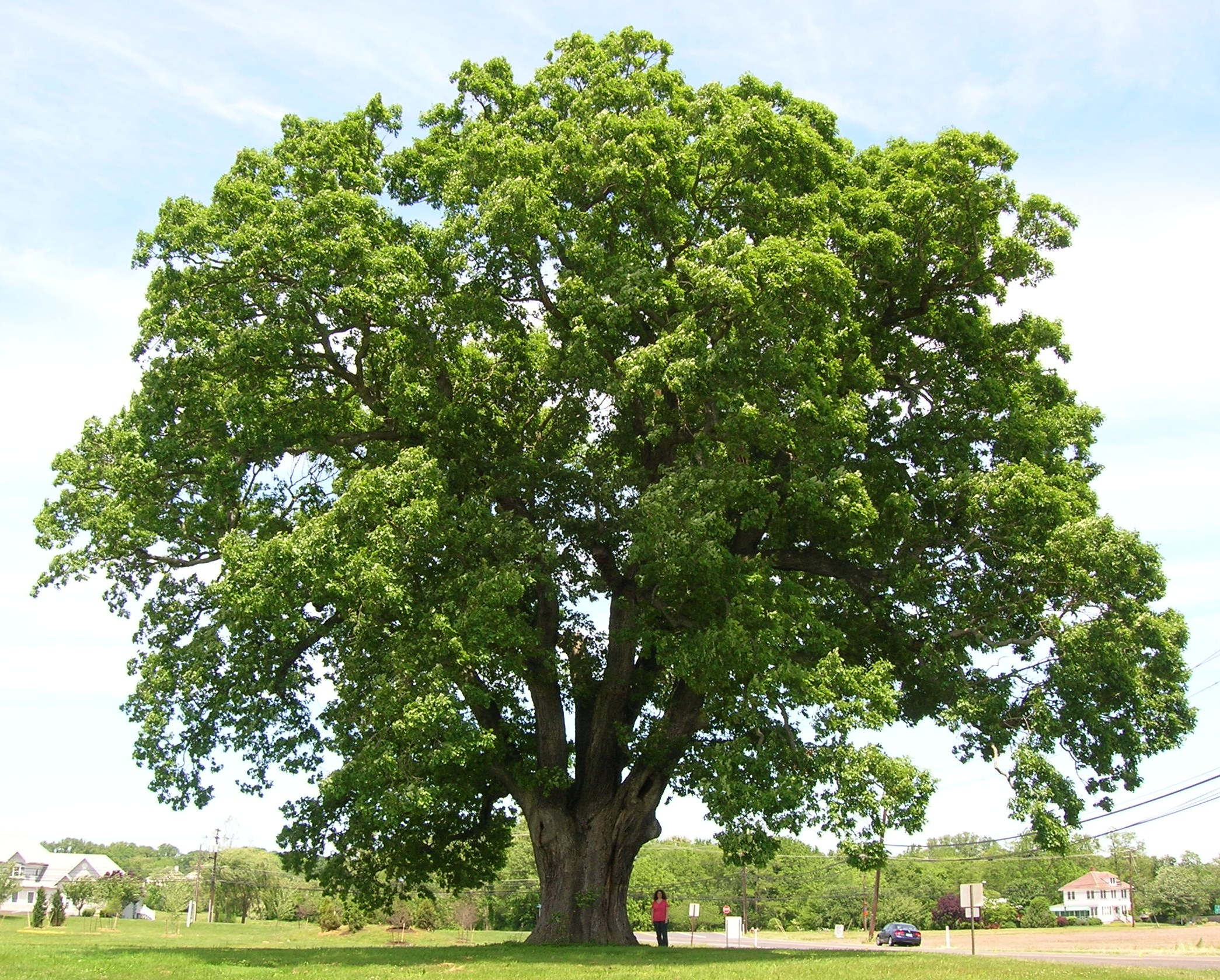 File:Keeler Oak Tree - distance photo, May 2013.jpg - Wikimedia ...