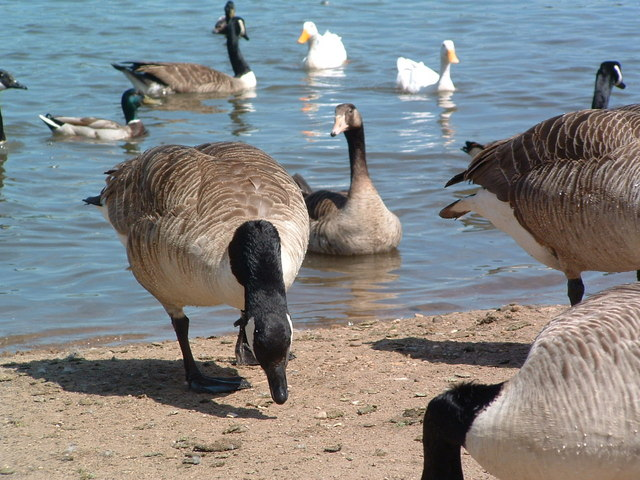 Kingsbury Water Park Wildlife - geograph.org.uk - 560110