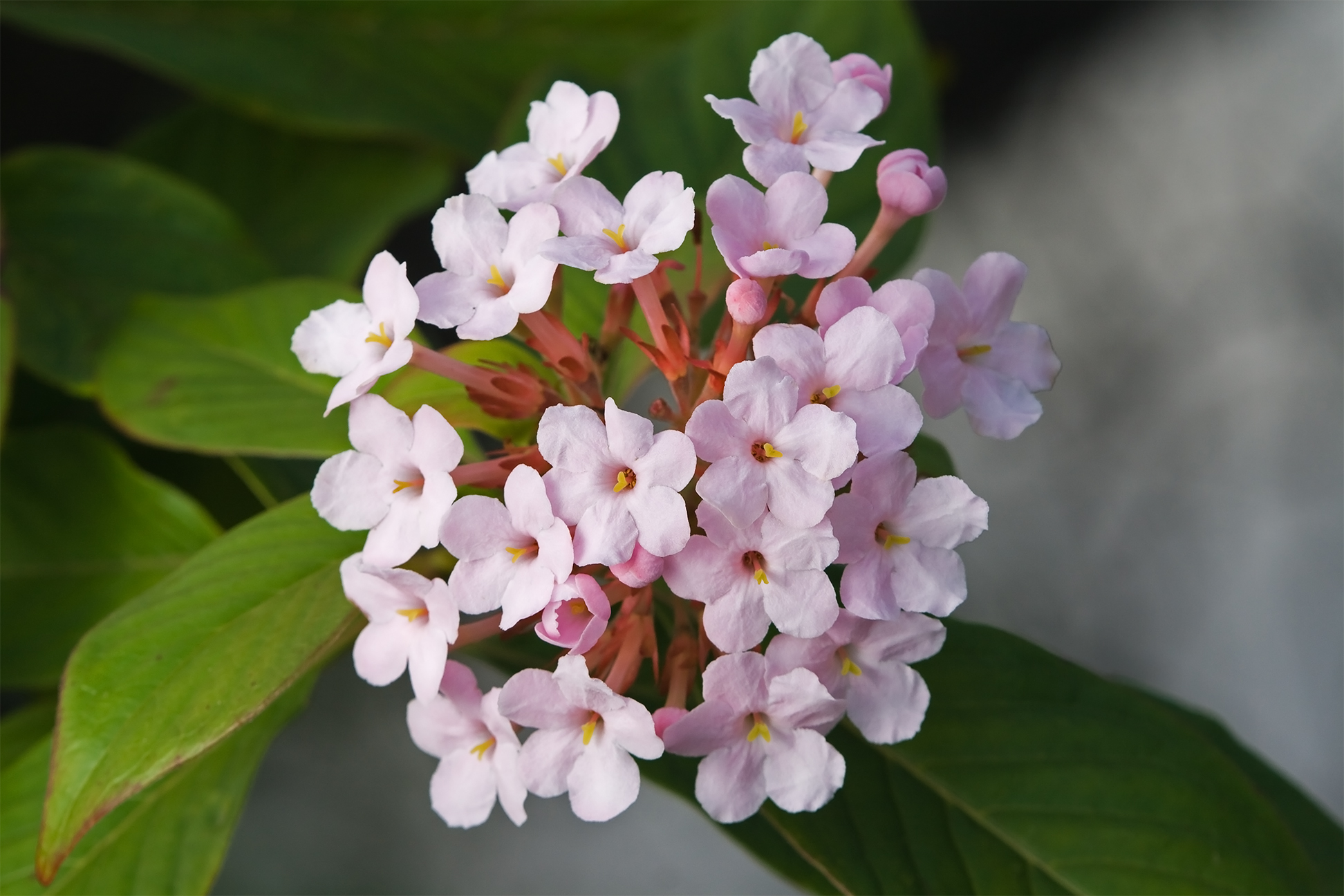 The fragrant pink blossom, Luculia Gratissima