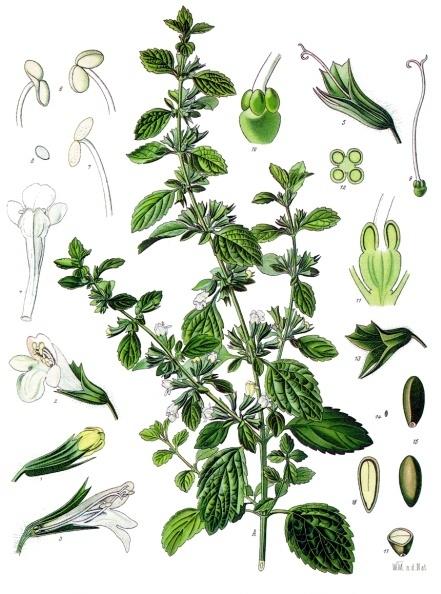 File:Melissa officinalis - Köhler–s Medizinal-Pflanzen-094.jpg