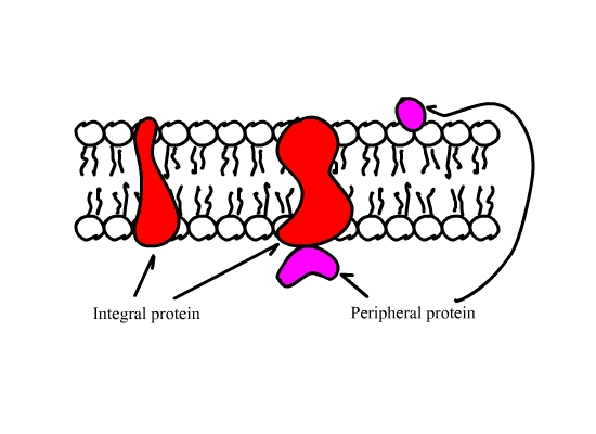 Proteins embedded in lipid bilayer