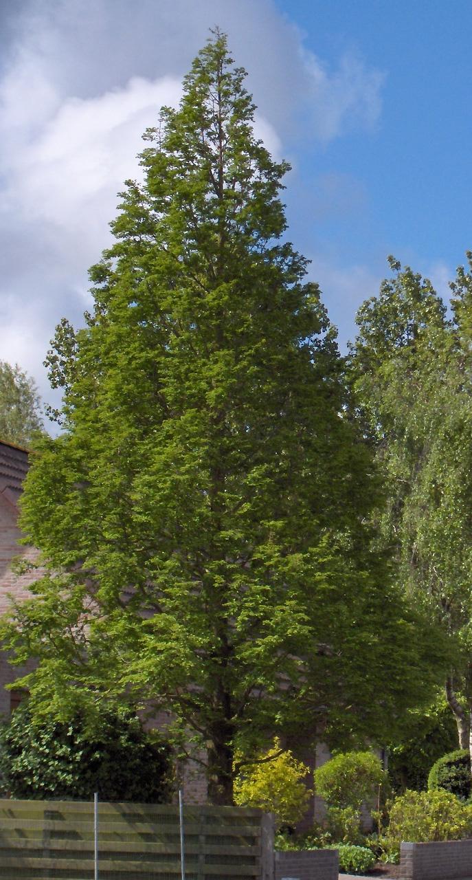 File Metasequoia Glyptostroboides Jpg Wikimedia Commons