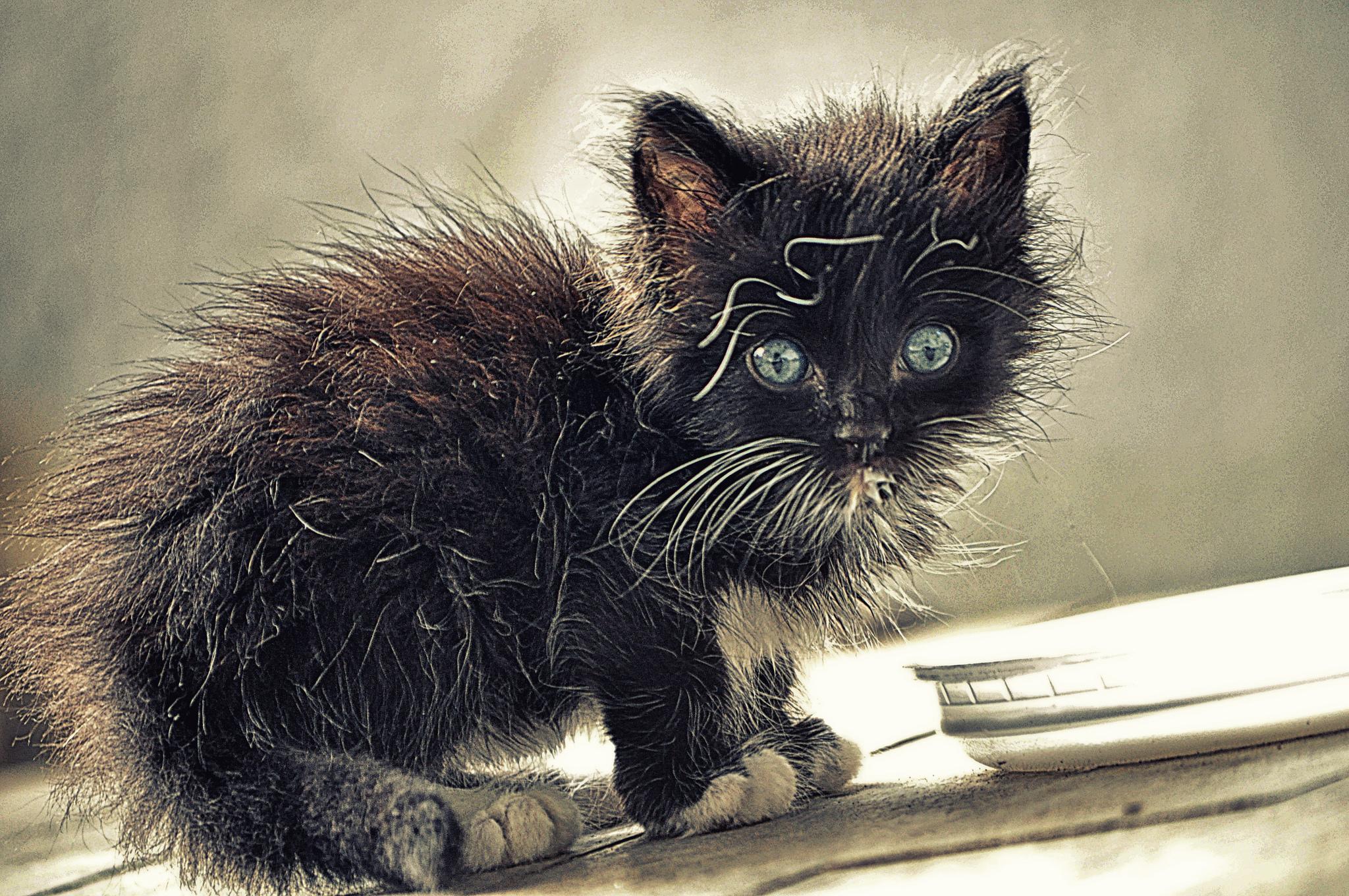 Animal Cat Video Porn pussy - wikipedia