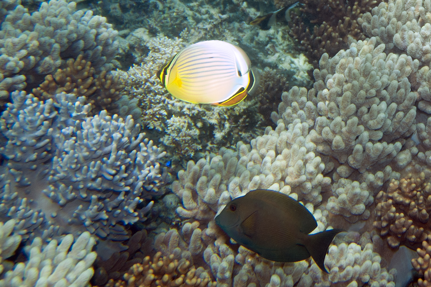 Oval butterflyfish - photo#17