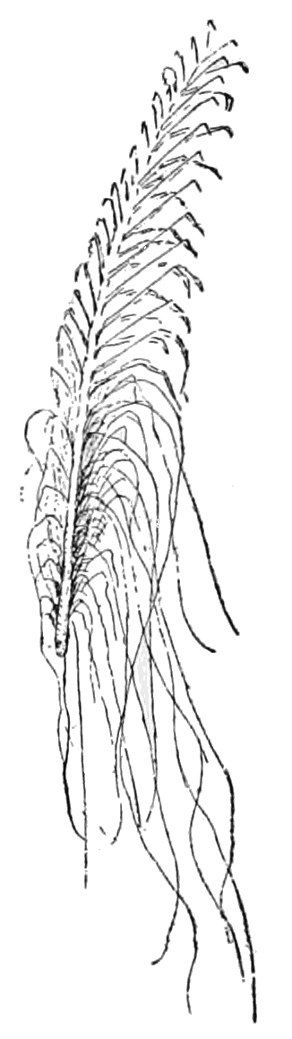PSM V60 D407 Piassaba frond with its fibres.png