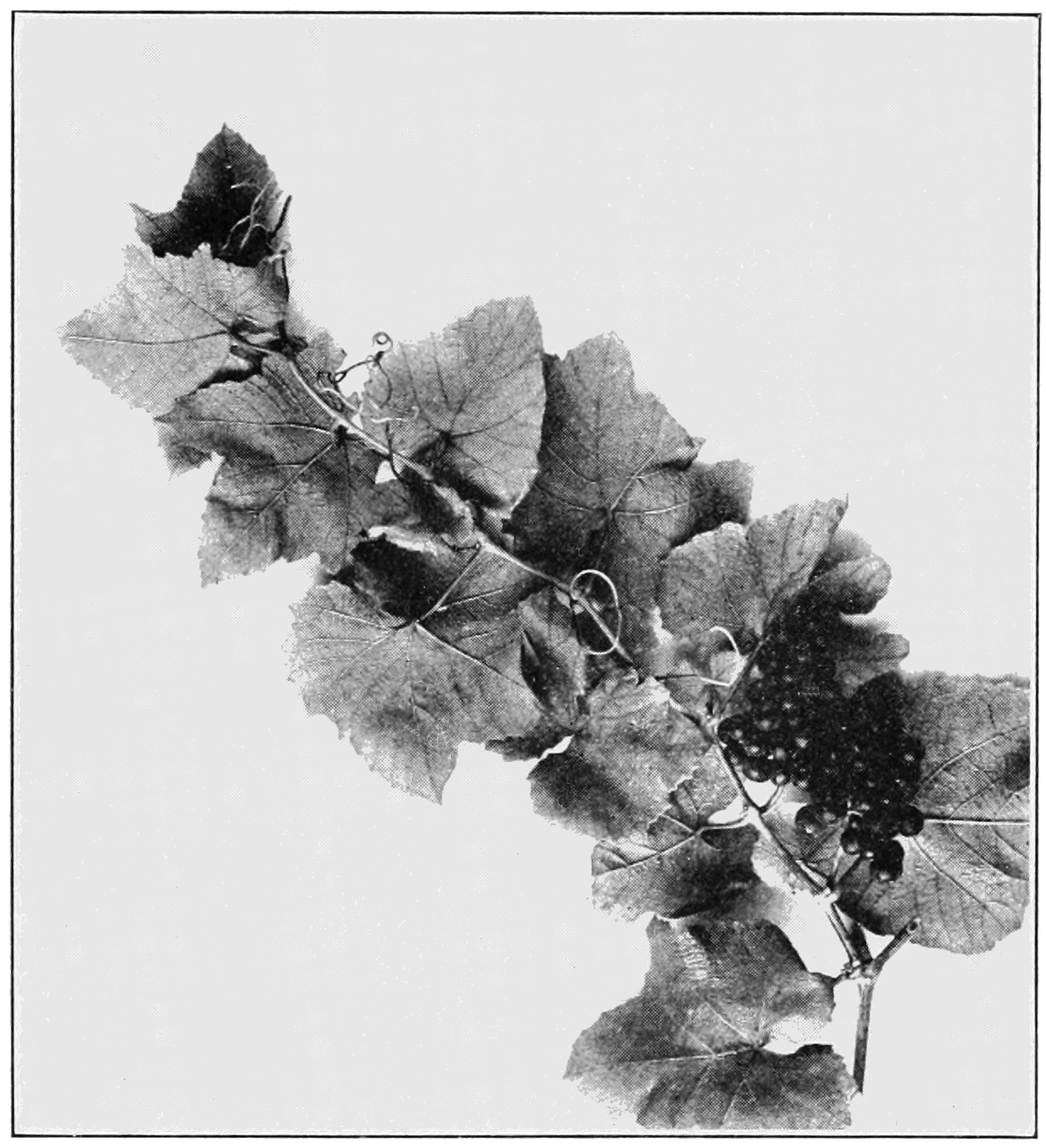 PSM V82 D353 Vitis aestivalis southern wine grape.png