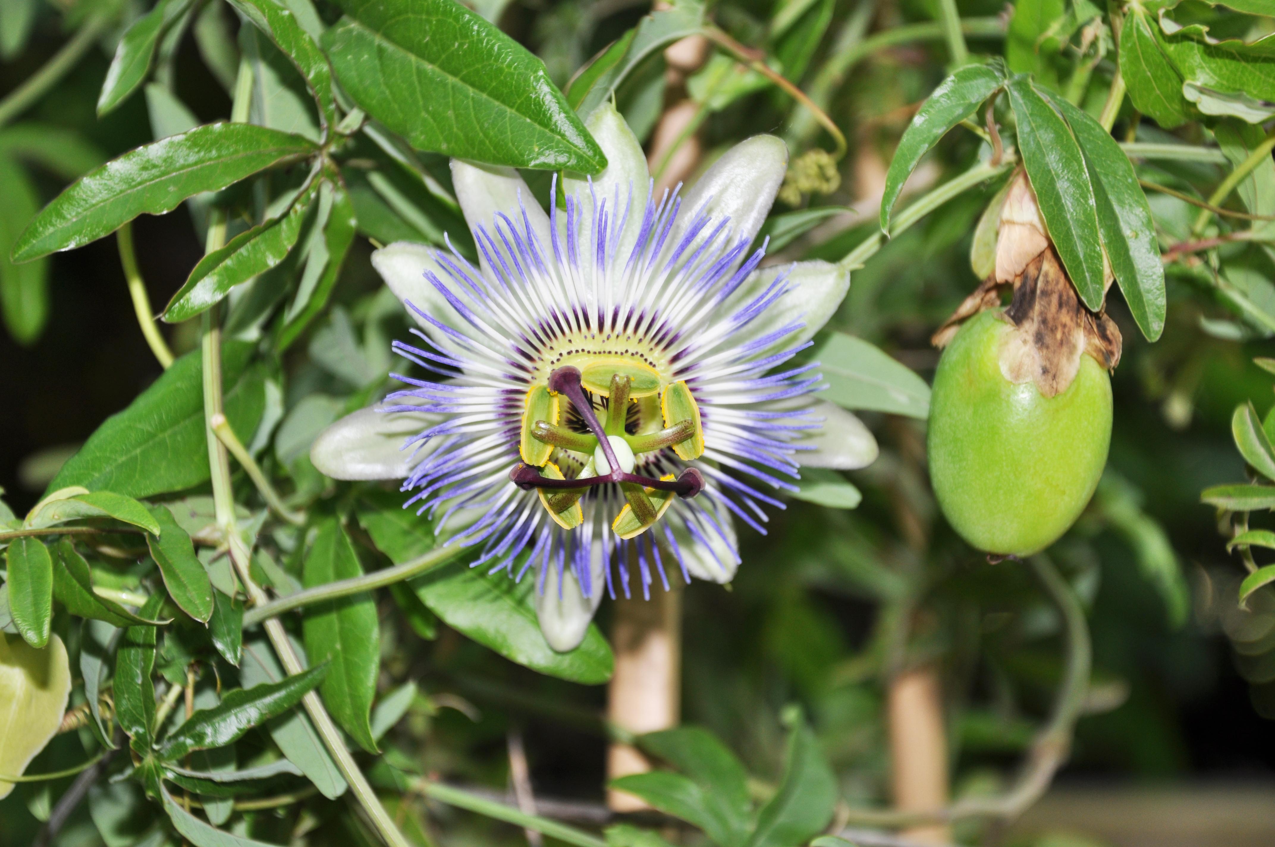 Filepassiflora Caerulea Blue Passion Flower
