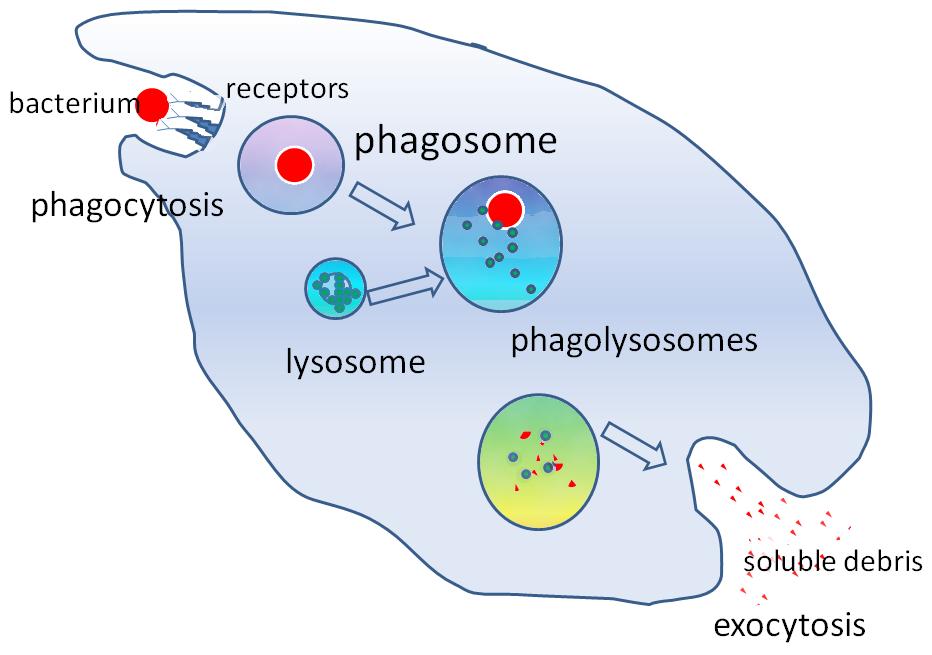 Phagocytosis2