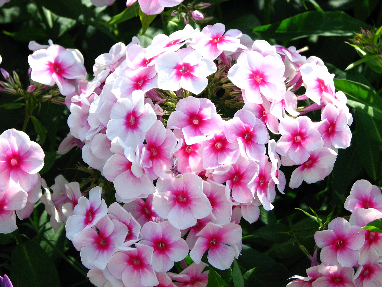 """Résultat de recherche d'images pour """"fleurs: les Phlox ?"""""""