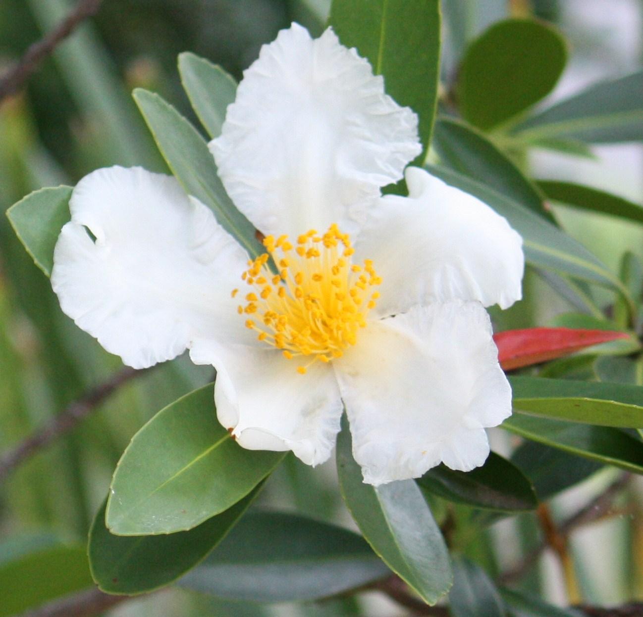 Polyspora axillaris - Wikipedia