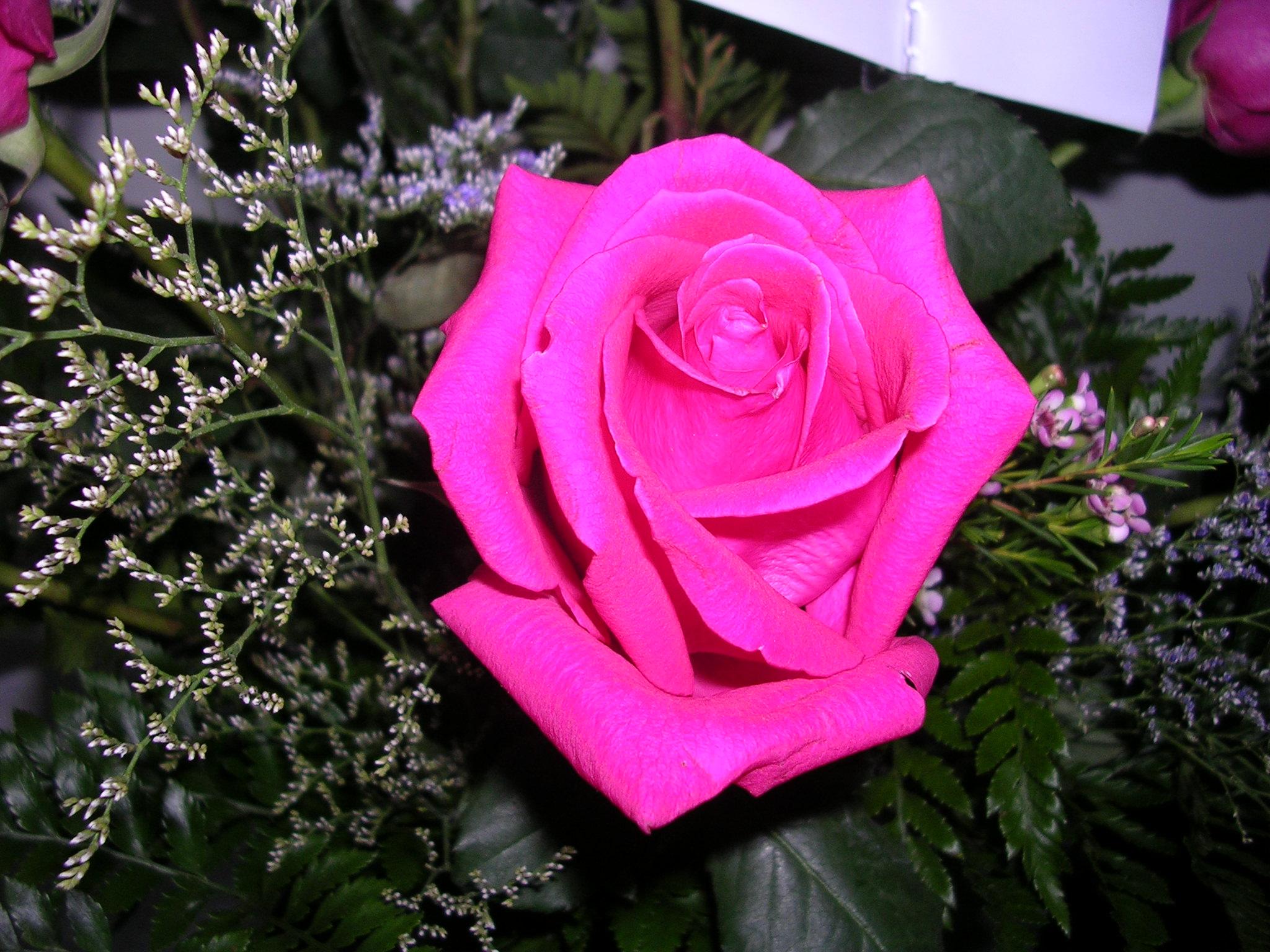 File Pretty Pink Rose Jpg