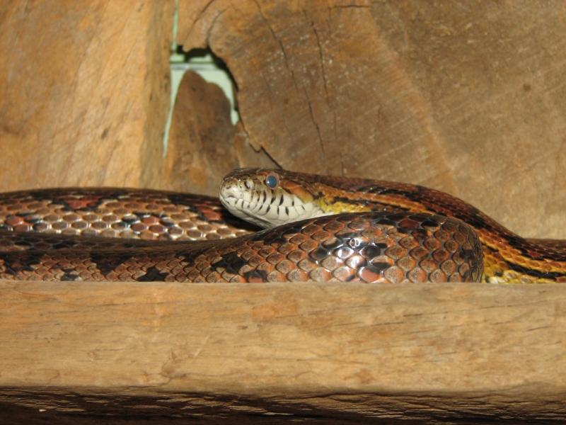 Pictures Of Chicken Snakes | www.pixshark.com - Images ...