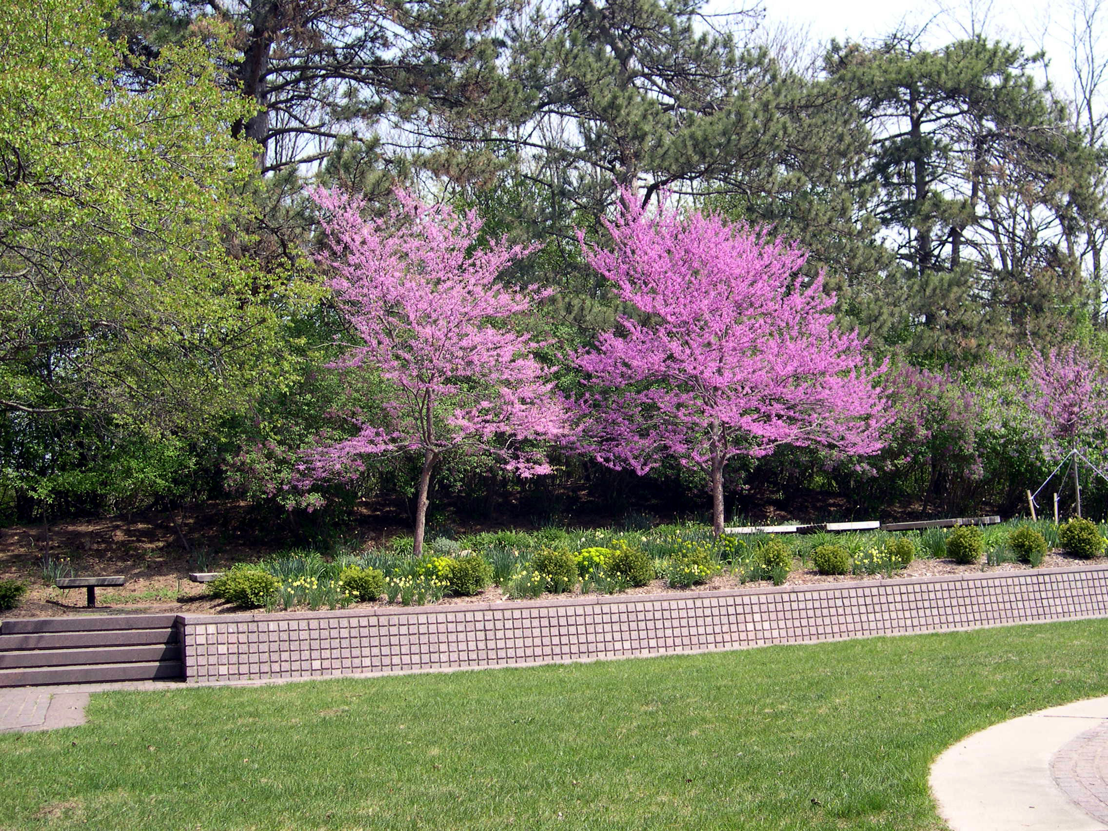 File Redbud Trees Jpg Wikimedia Commons
