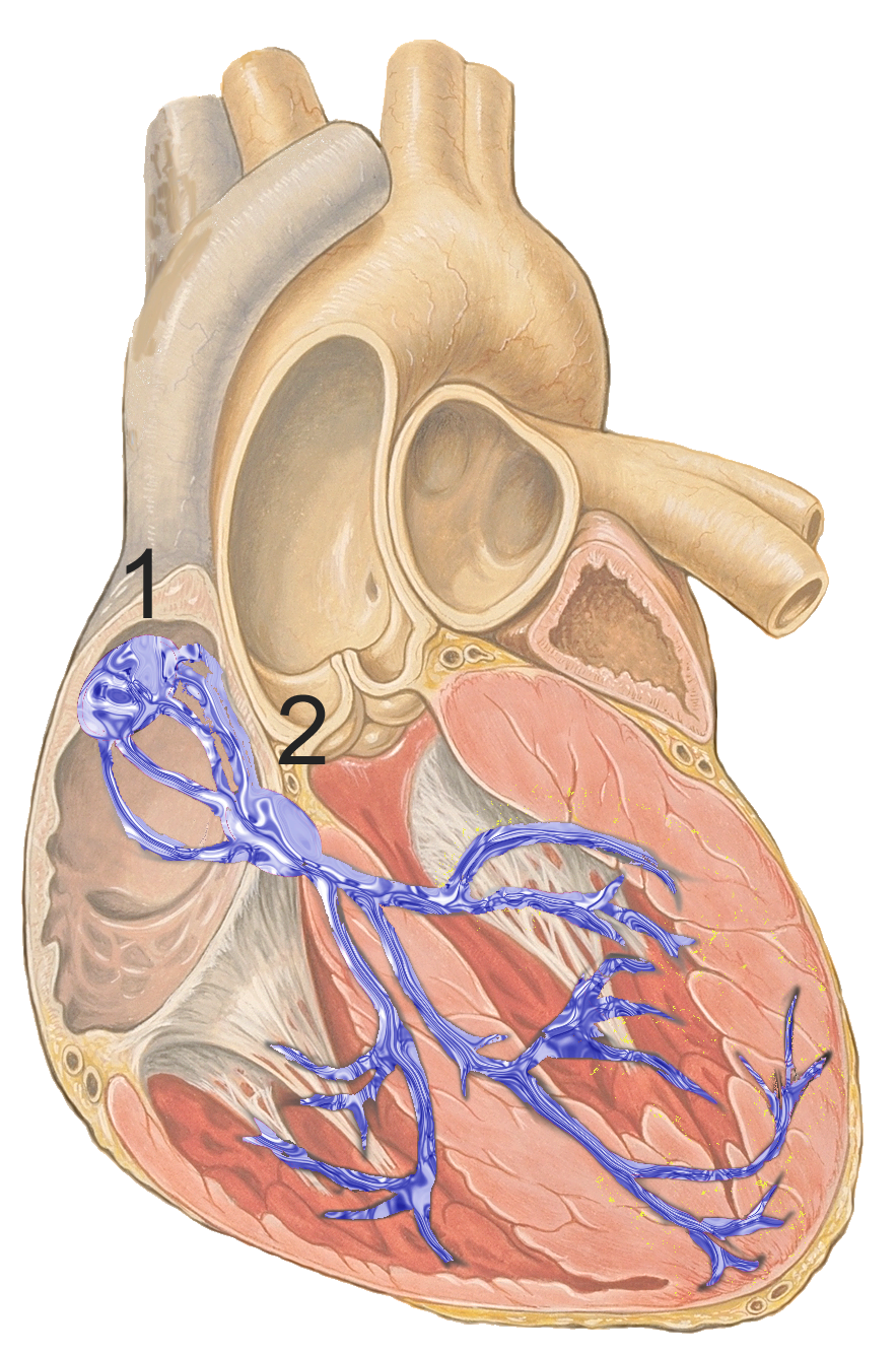 Sinoatrial Node Wikipedia