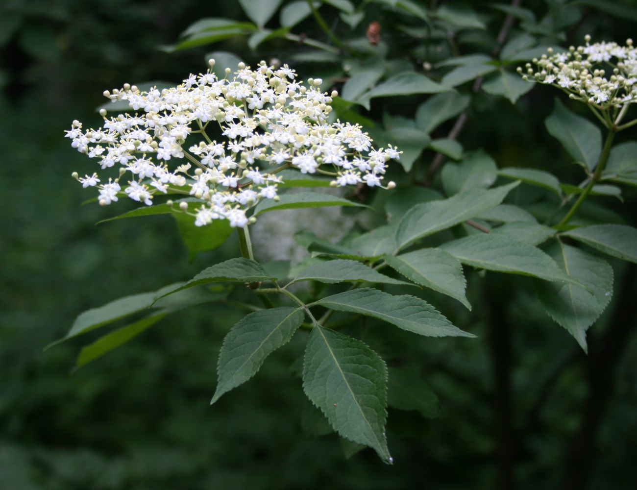 Are Elderberries Safe For Small Dogs To Eat