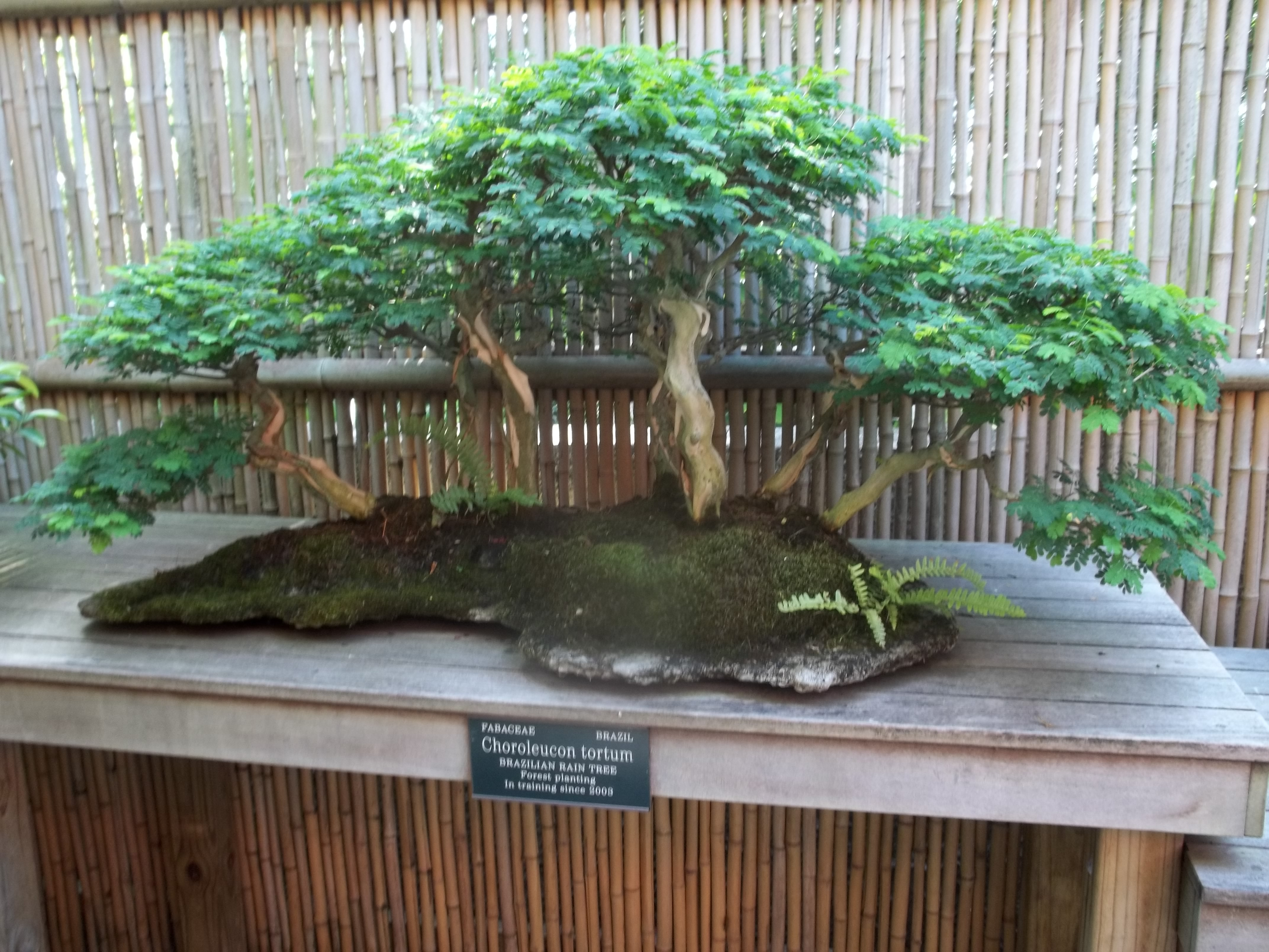 Images Of Bonsai Tree Paintings