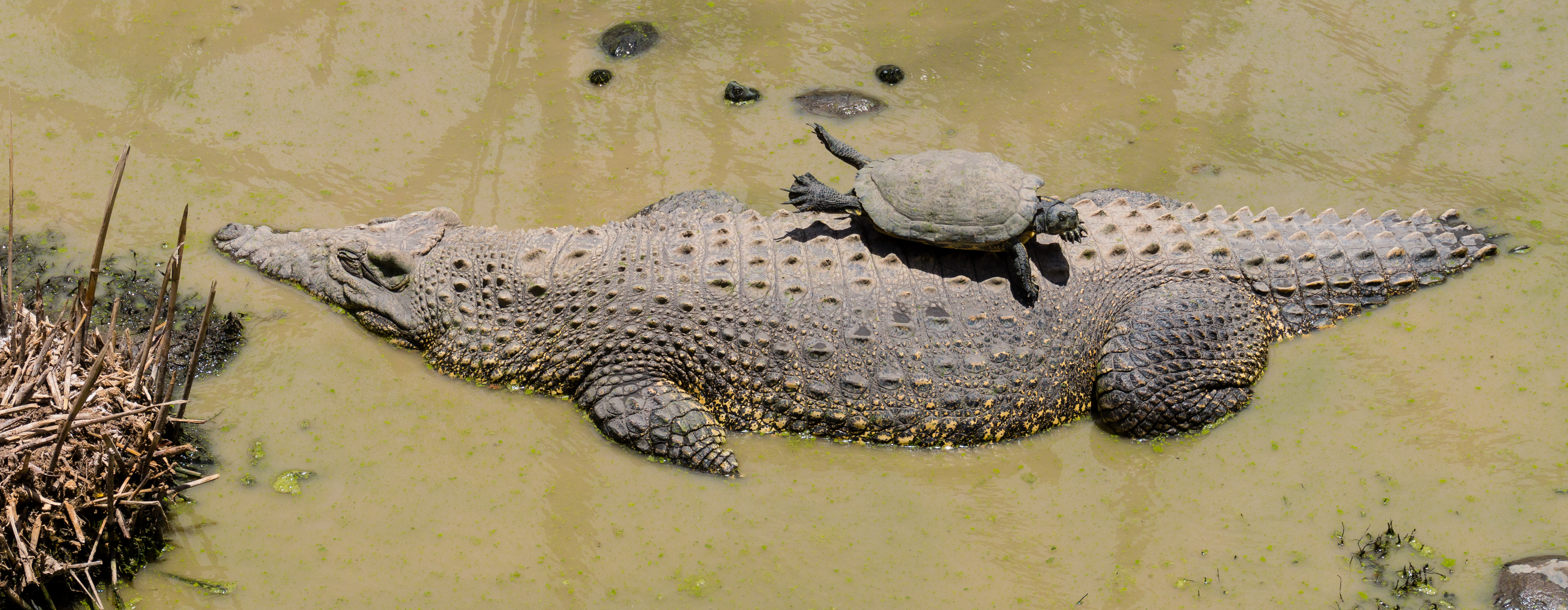 Image result for turtle, monkey, crocodile