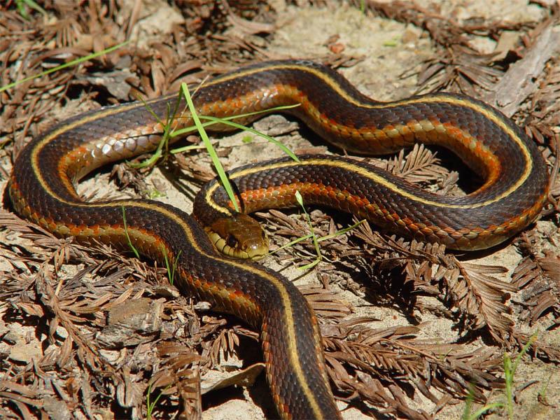 garter snake фото