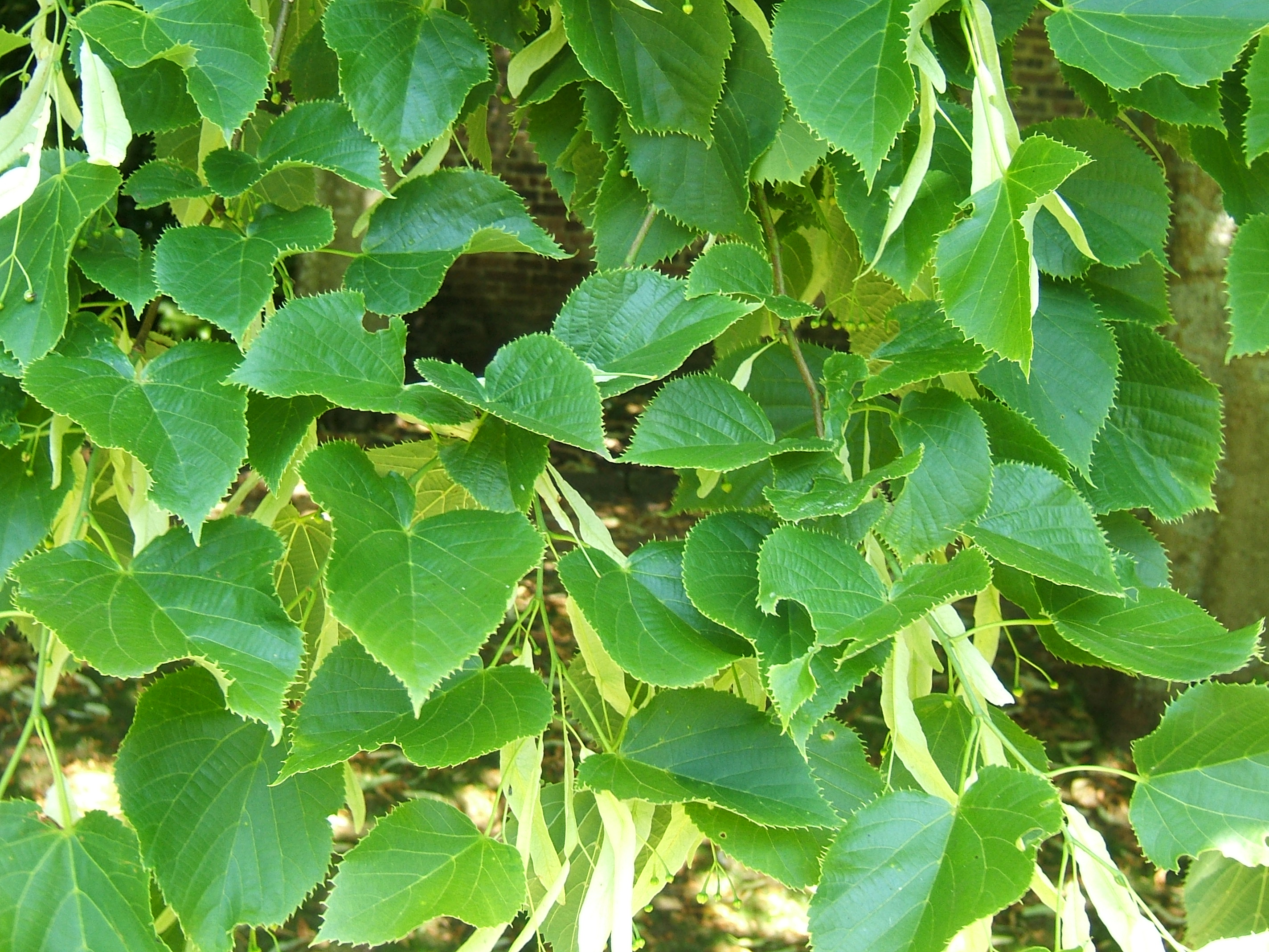http://upload.wikimedia.org/wikipedia/commons/e/e6/Tilia_henryana.jpg