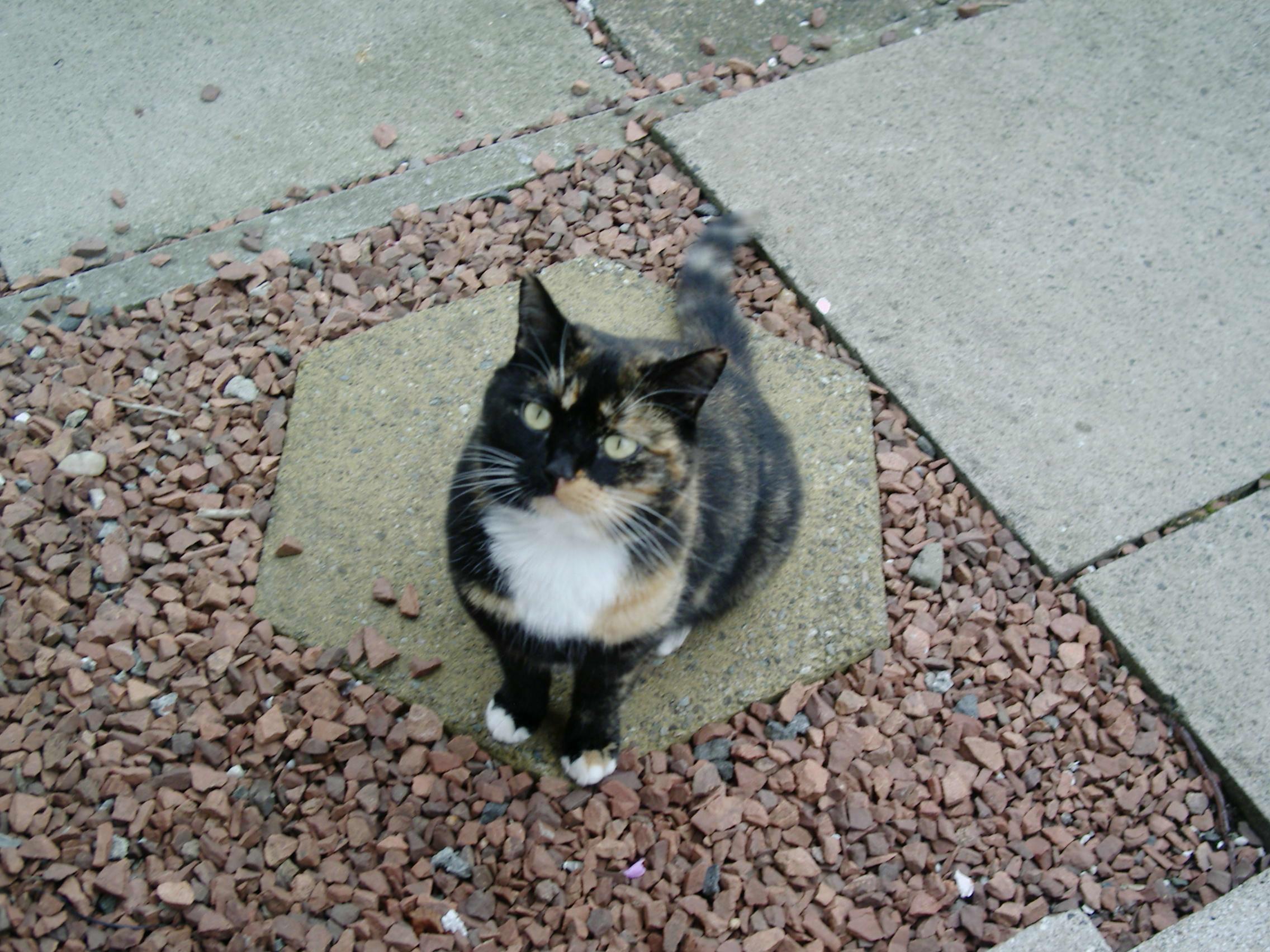filetortoiseshell cat cindy 1jpg wikimedia commons