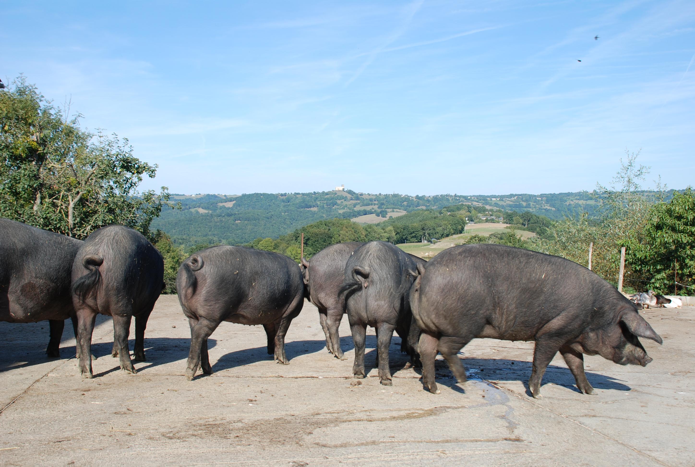 75d00fe076 Porc gascon — Wikipédia