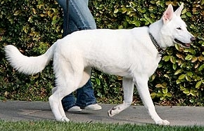 White German Shepherd Breed Description