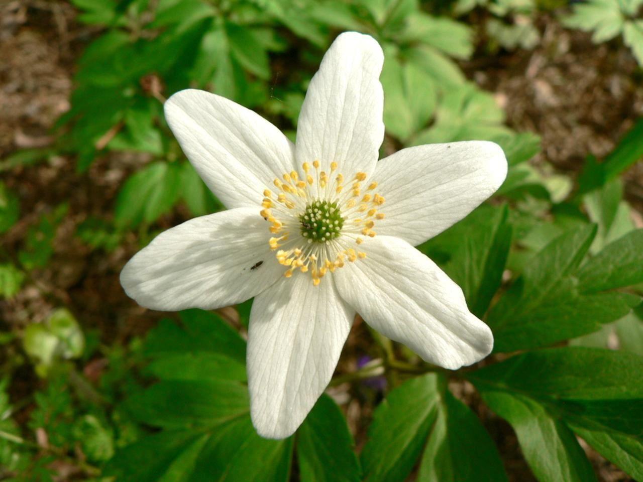 File Wood anemone flowering