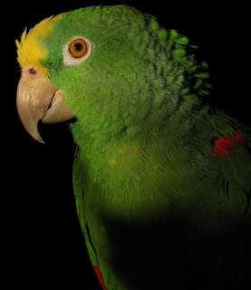 Description de l'image  Image:Yellow naped amazon parrot left side.jpg .