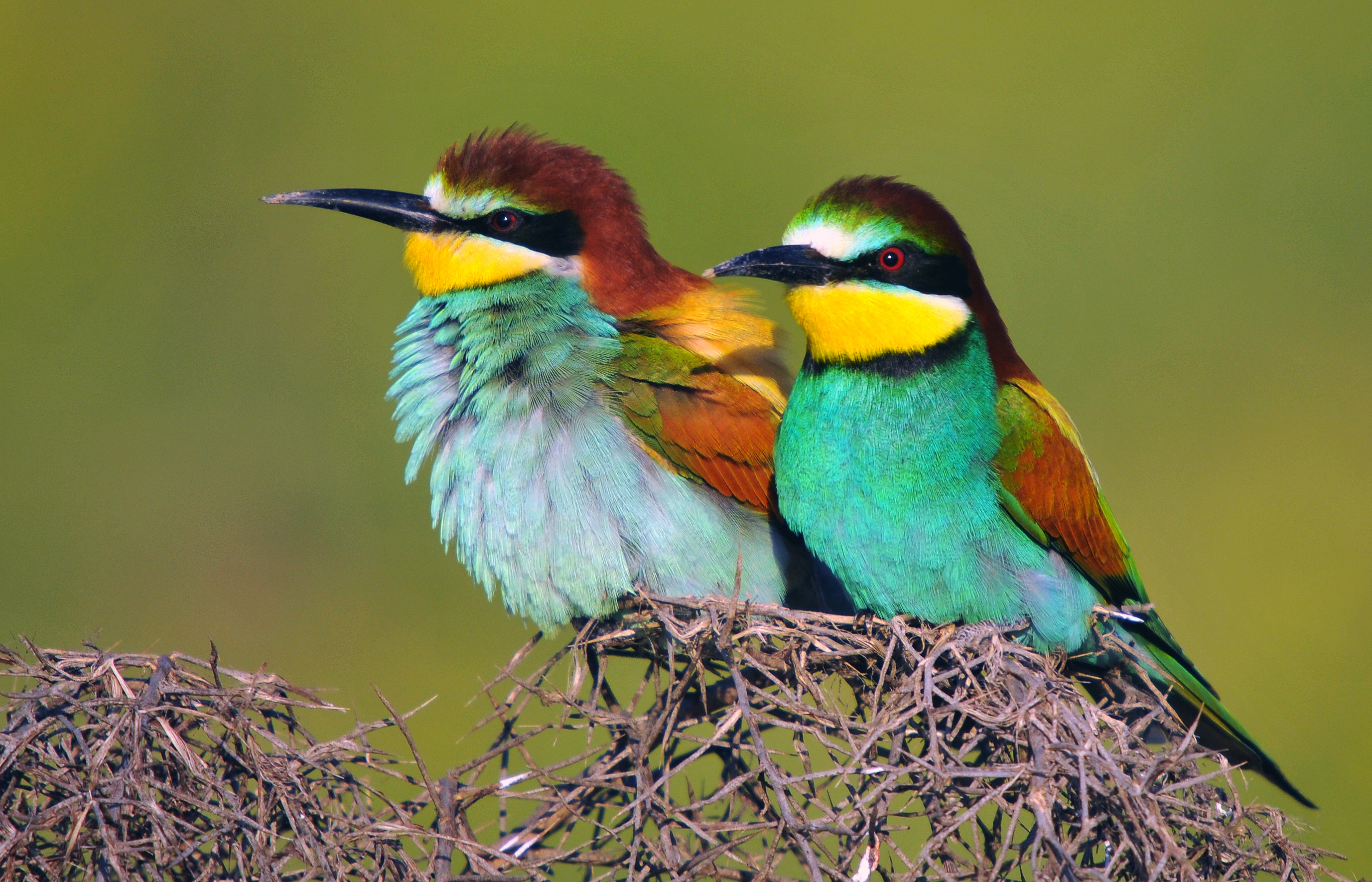 Depiction of Merops apiaster