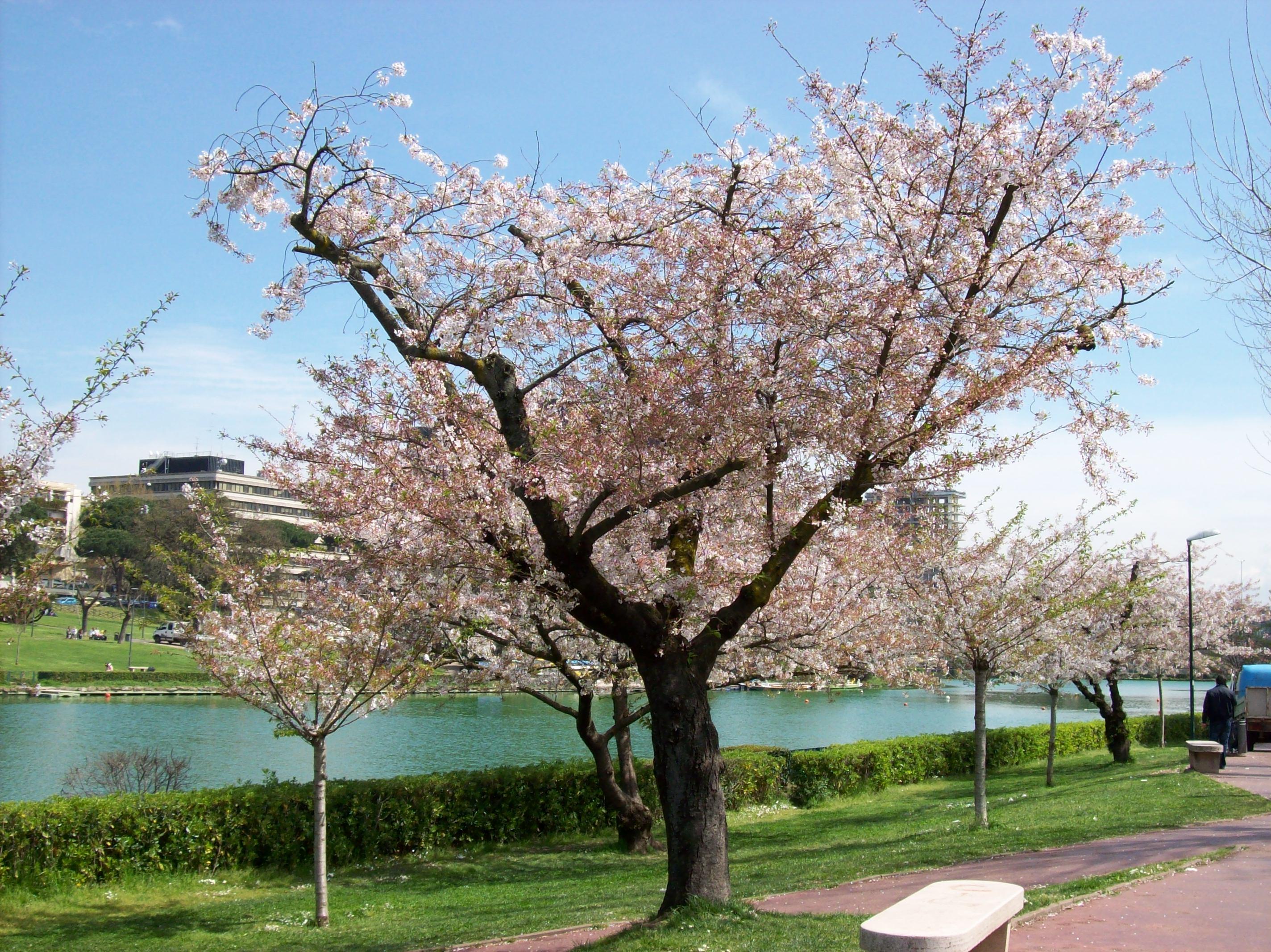 File 2013 04 08 sakura in fiore al parco wikipedia for Sakura albero