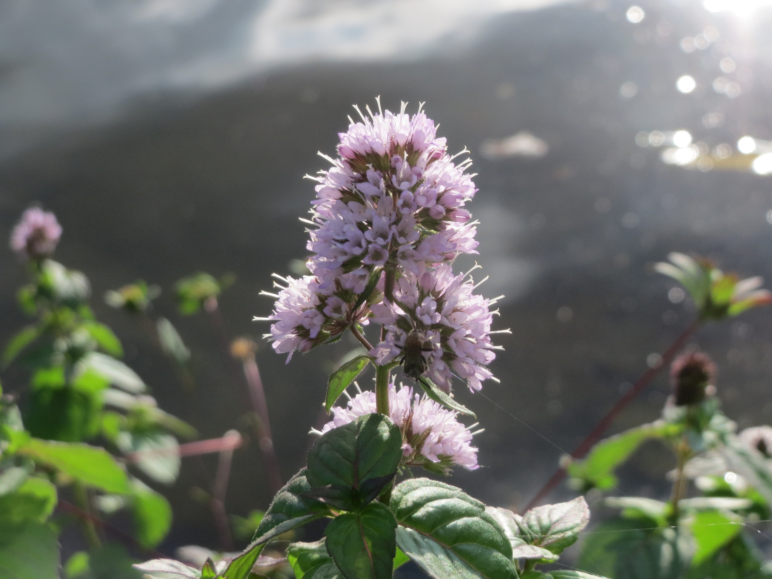 https://upload.wikimedia.org/wikipedia/commons/e/e7/20150908Mentha_aquatica5.jpg