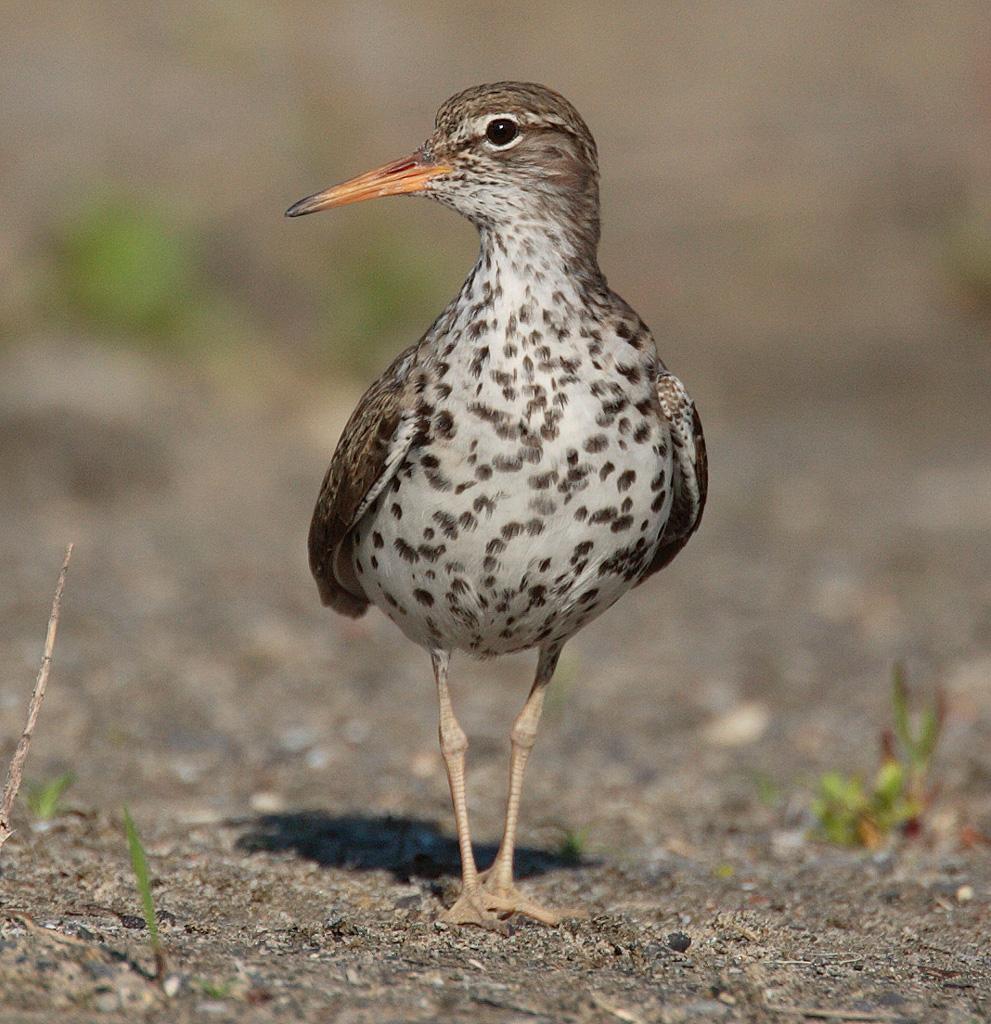Actitis macularius wikiwand for Photo oiseau