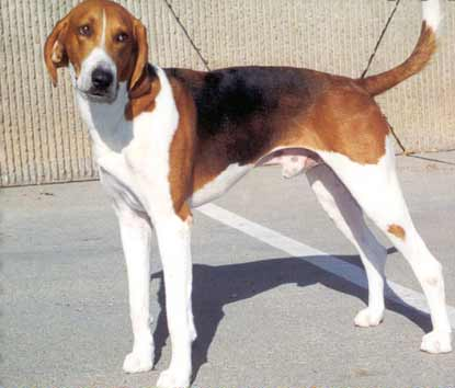 American Foxhound | Dog Fence