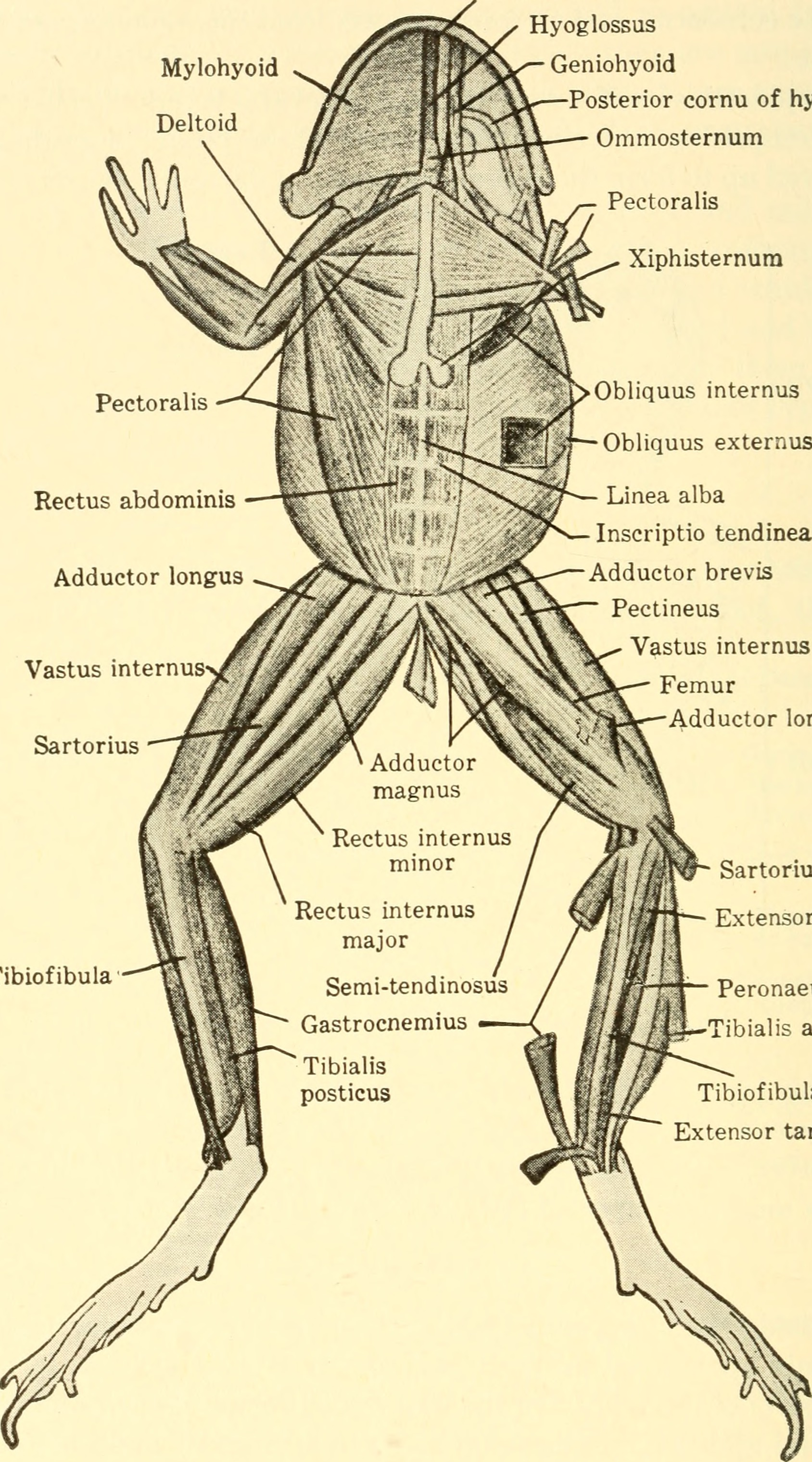 File:Animal biology (1938) (18009051300).jpg - Wikimedia Commons