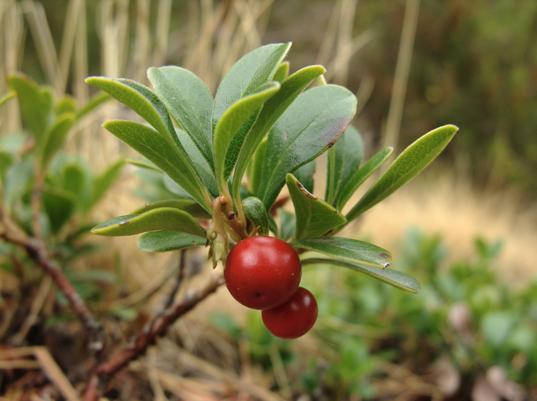 Arctostaphylos uvaursi  Wikipédia