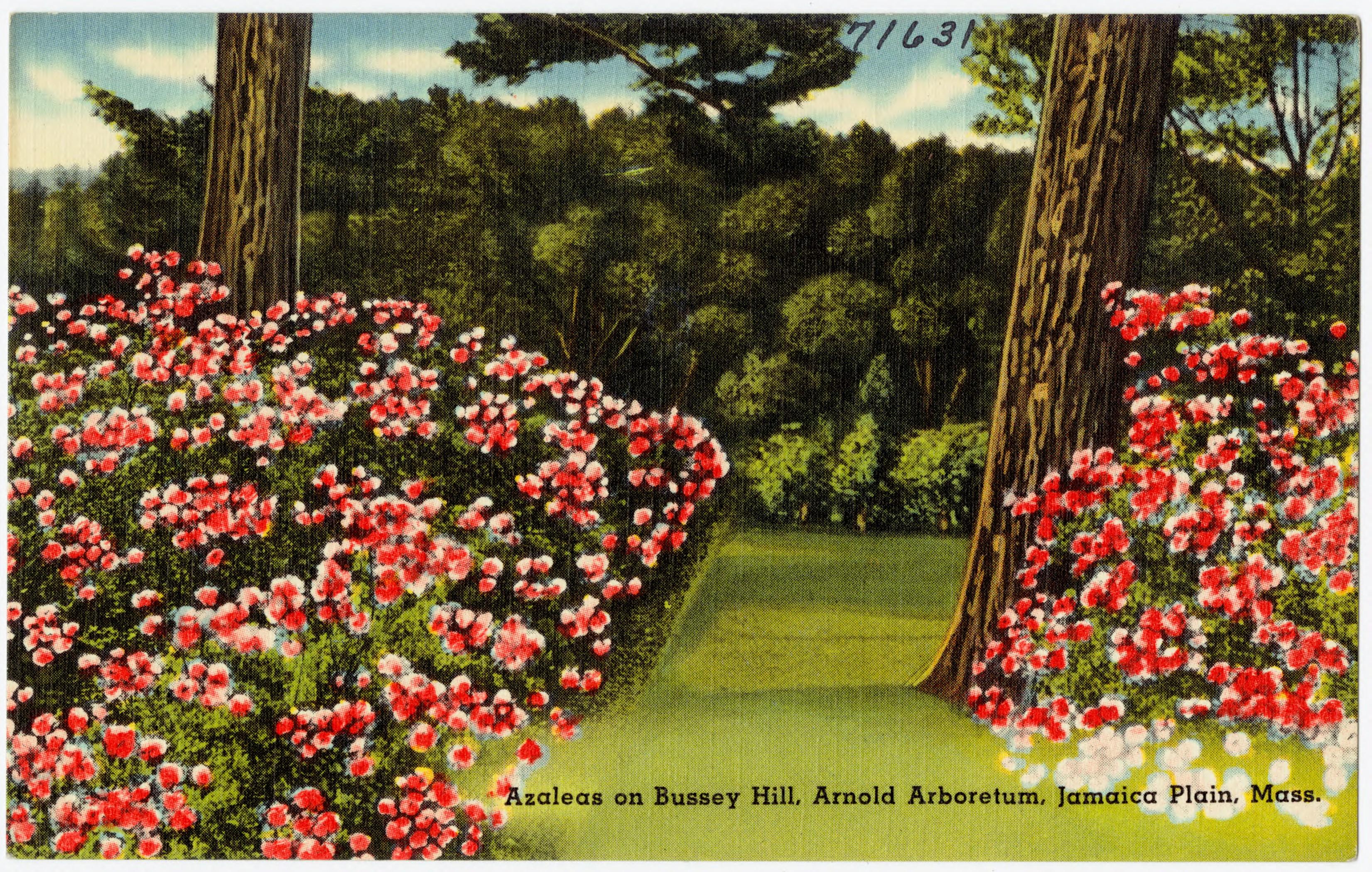 File:Azaleas on Bussey Hill, Arnold Arboretum, Jamaica Plain, Mass ...
