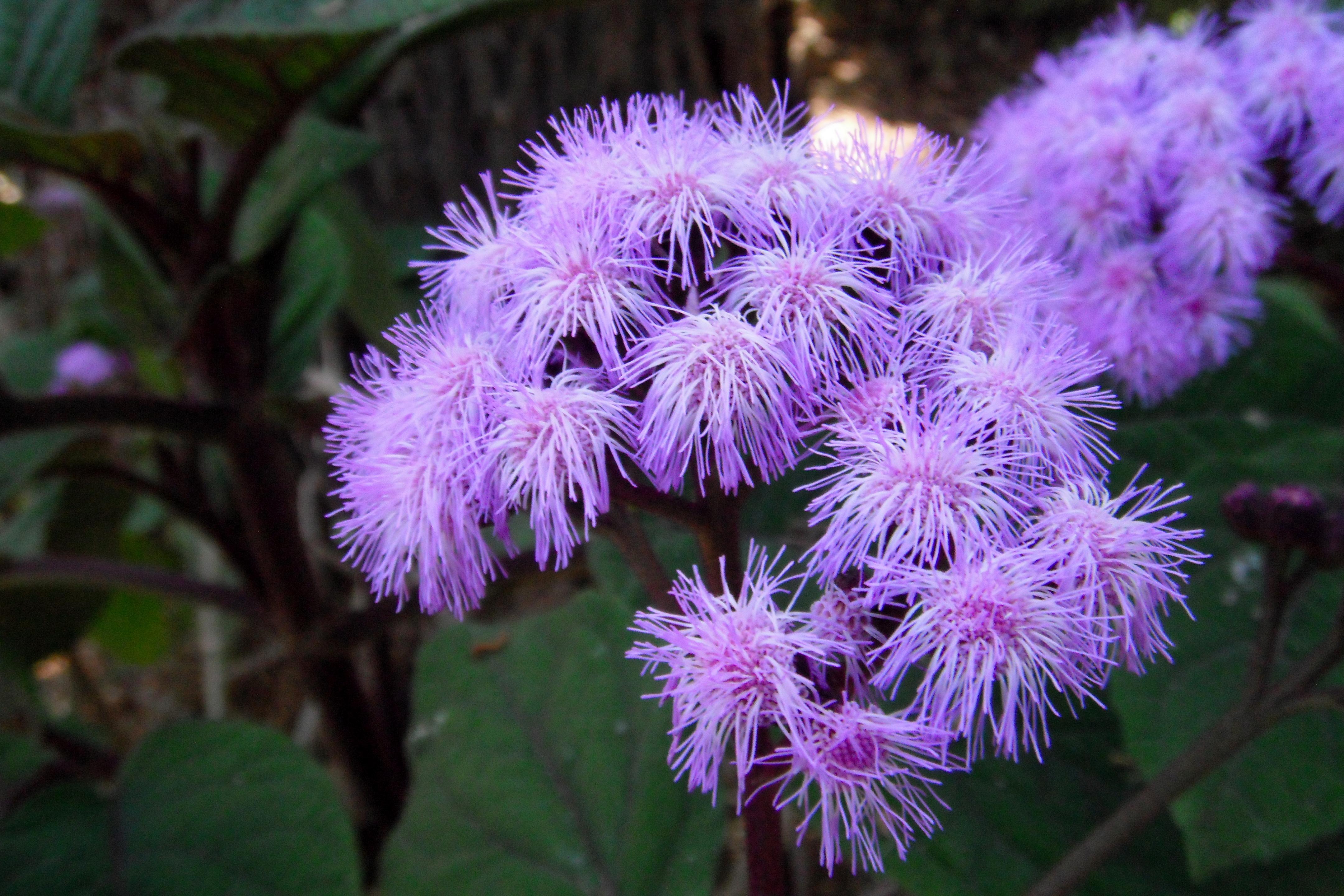 File Blue Flowers In Bloom Jpg