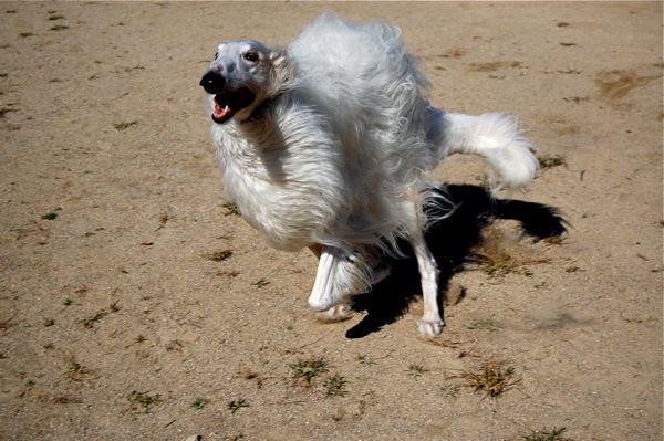 Dog Available For Adoption Young Female Labrador Retriever Site Lacounty Gov